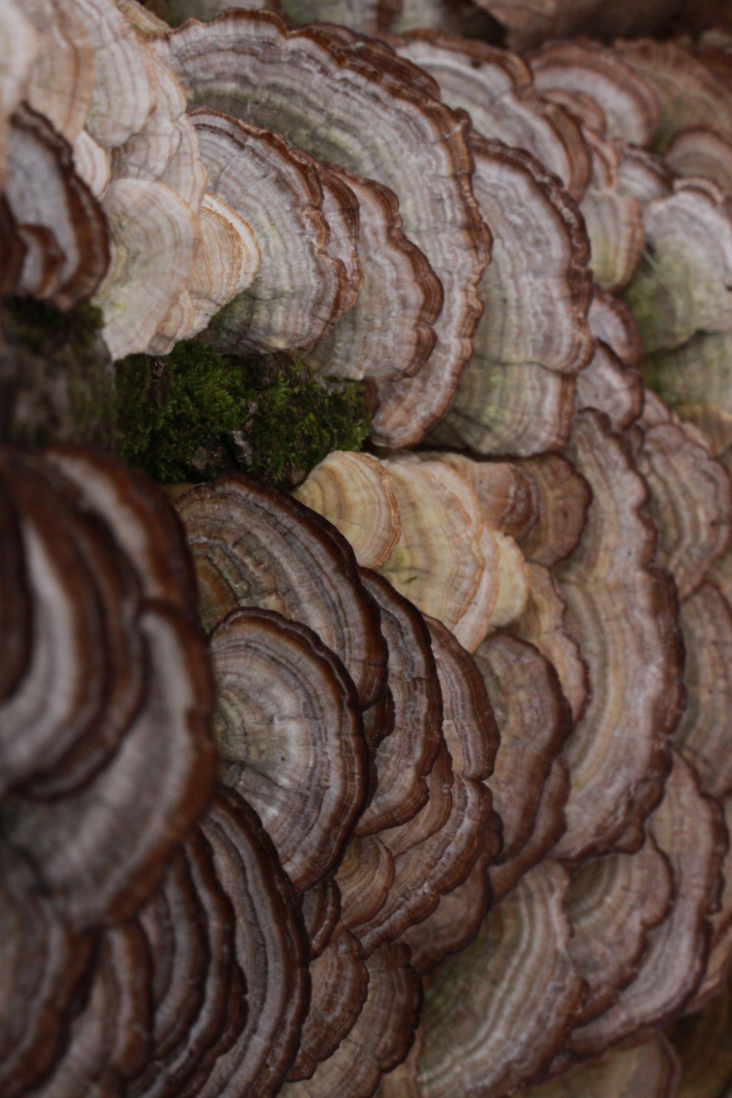 Turkey Tail Fungus (Trametes versicolor).JPG