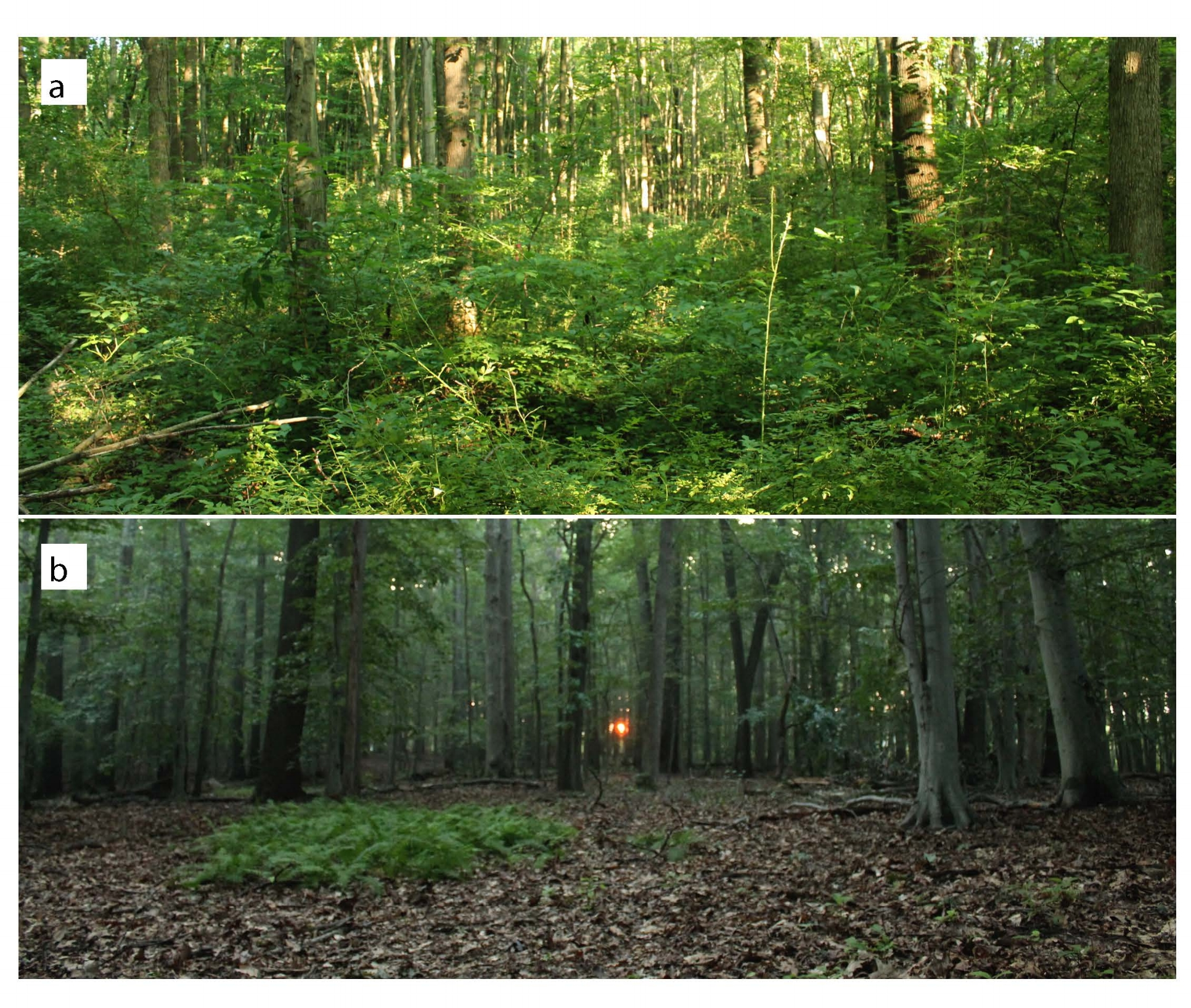 (a) Forest with  R. multiflora  invasion (b) Forest without  R. multiflora  invasion