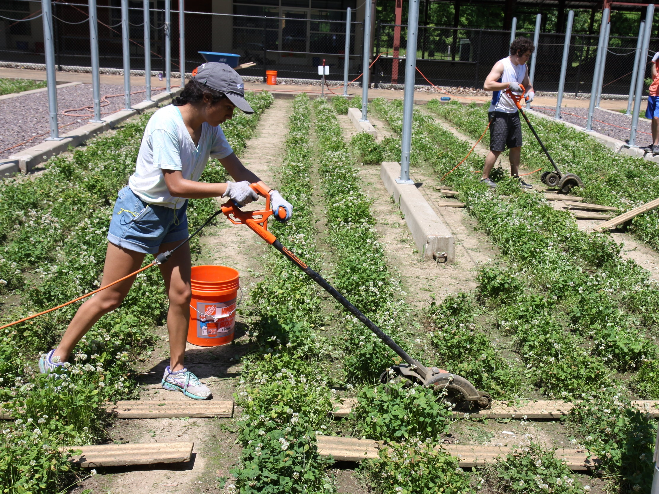 Maya using an edger to trim around experimental clover plots