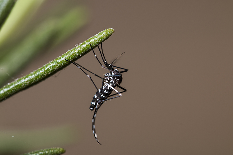 New research from Washington University in St. Louis shows that invasive mosquitos at the northern limit of their current range are successfully using time-capsule-like eggs to survive conditions that are colder than those in its native territory. (Photo: Shutterstock)