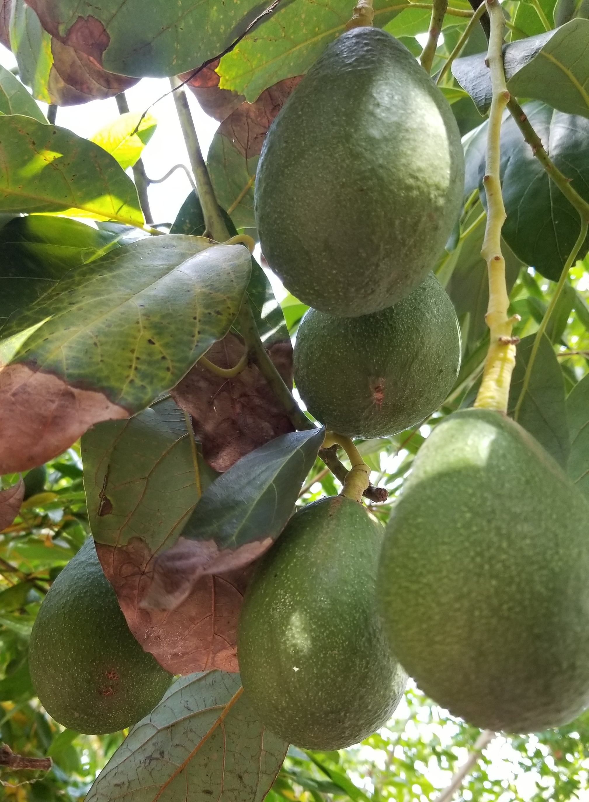 five_avocados.jpg