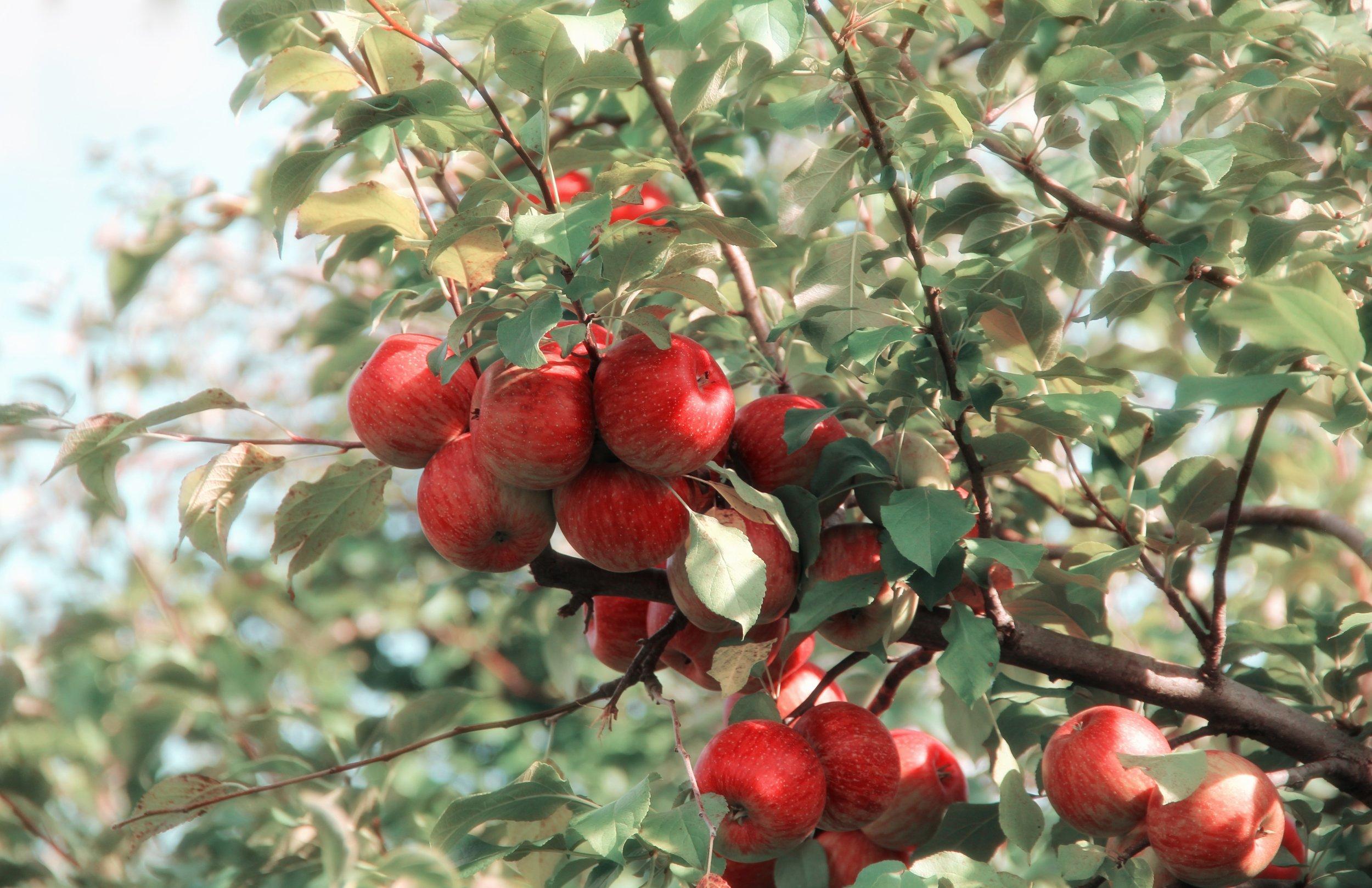 apple-branch-crop-635705.jpg
