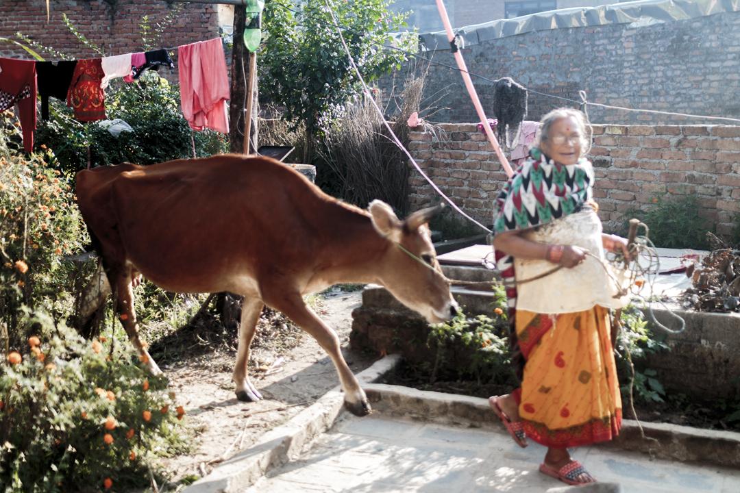 A woman walks a cow in the street, Kathmandu, Nepal