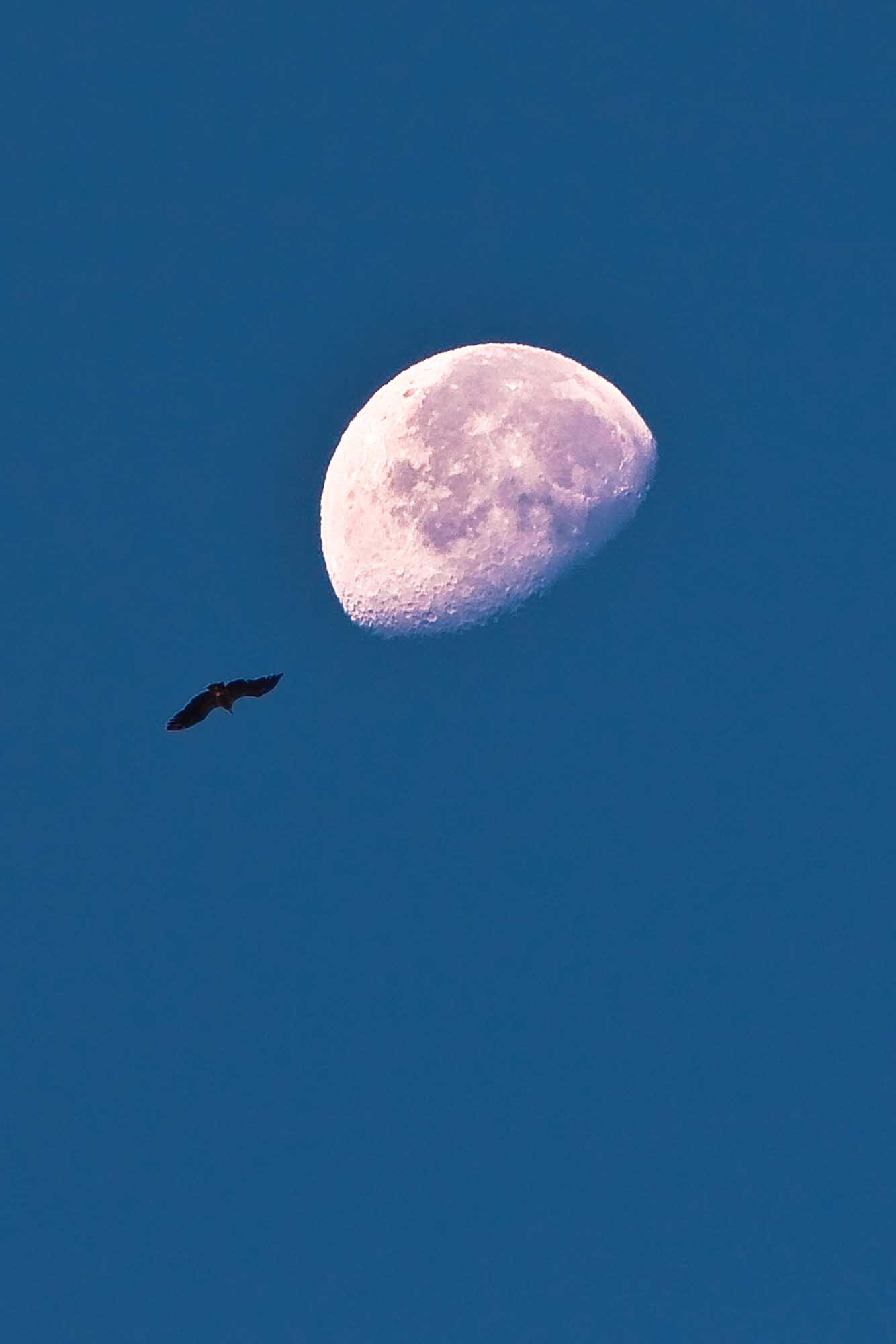 Lammergeier by moonlight.jpg