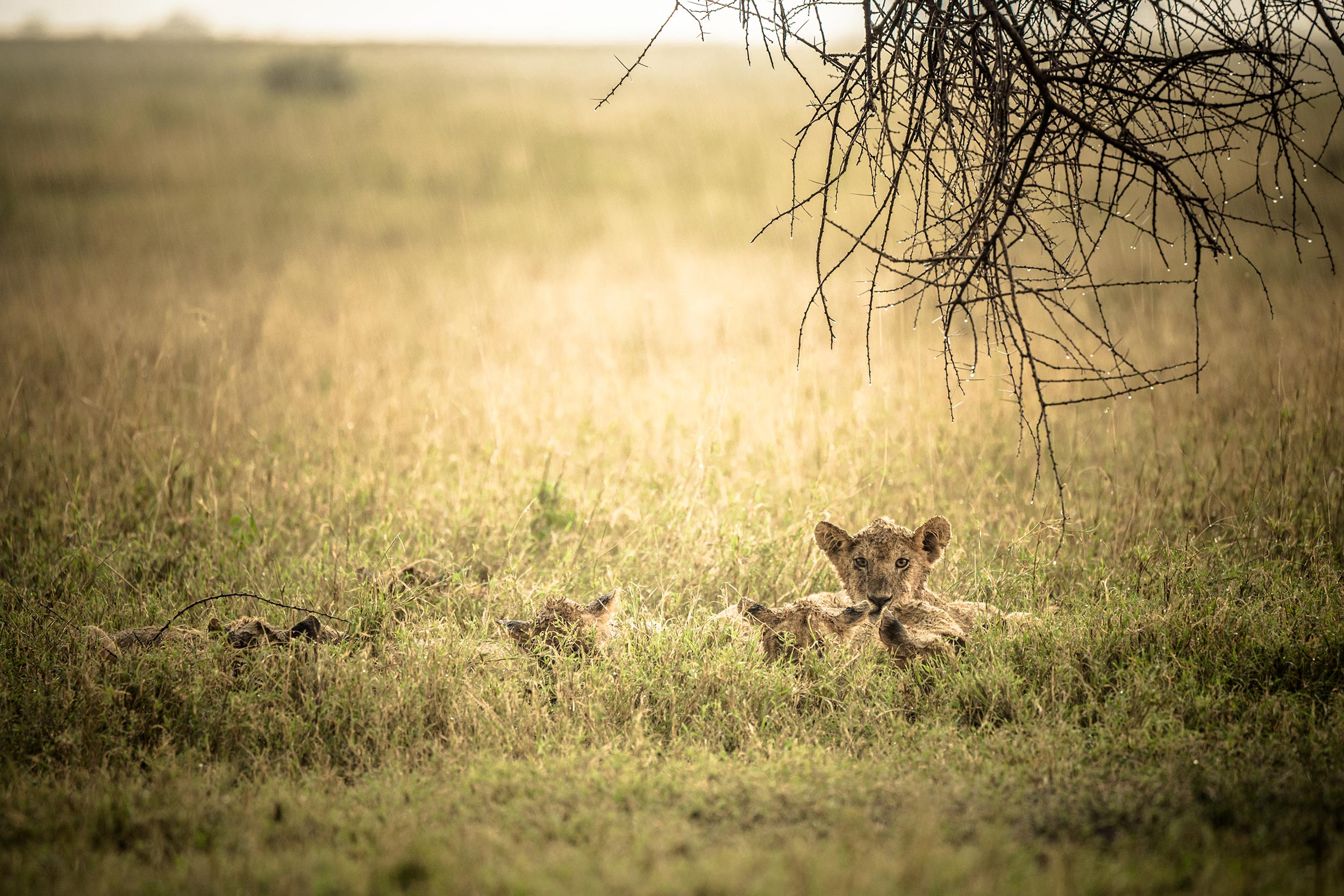 Untold-journal_Tanzania_lioness.jpg