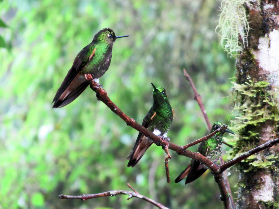 1-hummingbirds-of-bellavista-cloud-forest-ecuador-robert-selin.jpg