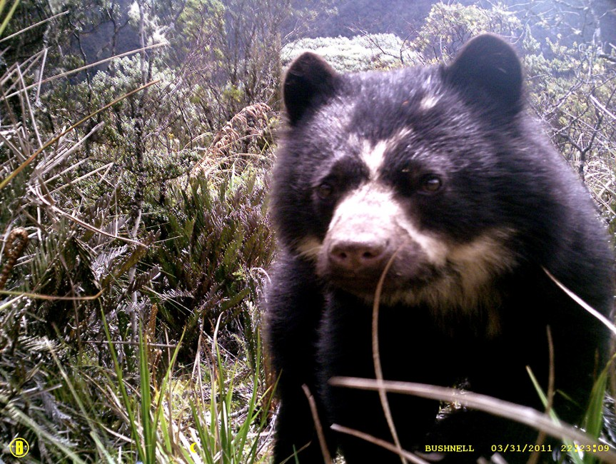 AndeanBear-Tremarctos_ornatus-863x650.jpg
