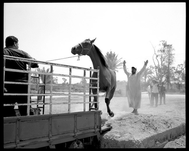 Mission to recover looted Arabian horses in Baghdad. June, 2003.