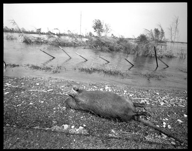 Dead muskrat in flooded area in Cameron Parish Louisiana, September 27, 2005.