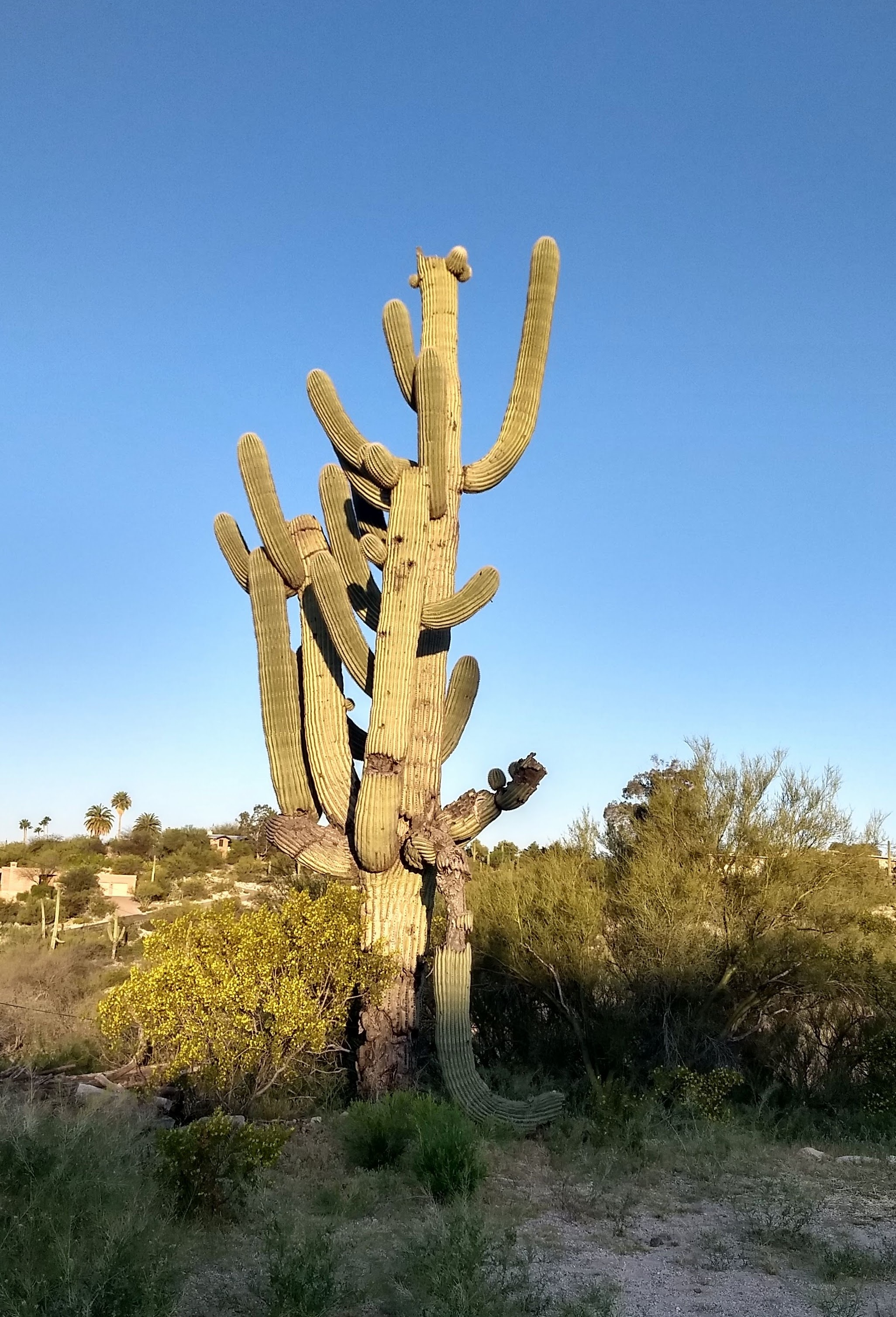 As I walked this morning, I was stunned by the complex dignity of one ENORMOUS Saguaro Cactus! This slow-growing wonder has clearly suffered hardship and drought over many, many decades, and yet, it thrives, continually rising toward the sun.