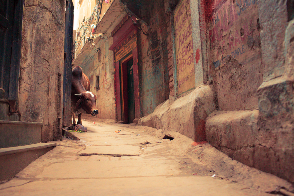 Cow in alley india