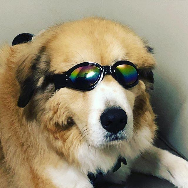 Laser treatment time!  #stratfordequestrianfarm #welcometoourhouse #greatpyrenees #farmdogs #farmdogsforlife #adoptdontshop #klaser #cobbsfordpethealthcenter
