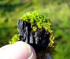 A photo of moss growing on biochar. Photographer unknown.