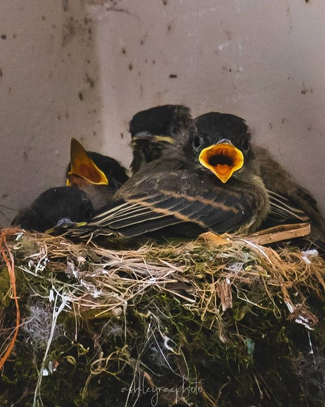 We have a nest of baby birds on our front porch and I have had the pleasure of watching them grow since they hatched. It is so amazing to me at how fast these little boogers grow up! I've been watching closely, letting mama bird and daddy bird get more comfortable with me so that I can watch them leave the nest and I really hope that I get to see it. I just love birds so much! . . . . #outdoorphotomag #natgeoyourshot #naturelovers #embracenature #babybirds #birdsofinstagram #crazybirdlady #myfrontporch