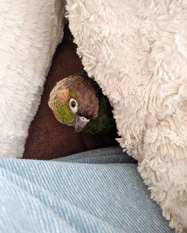 feather. butt. friday . . . #featherbutt #featherchild #birdsofinstagram #greencheekconure #parrots #exoticbird #cricketbird #fluffy #snugglesohard