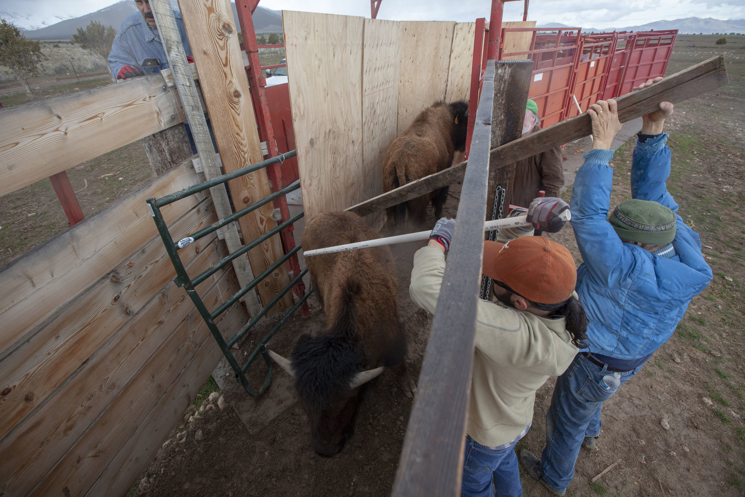 Volunteers poke bison with a two by four and PVC pipes to urge them through a chute