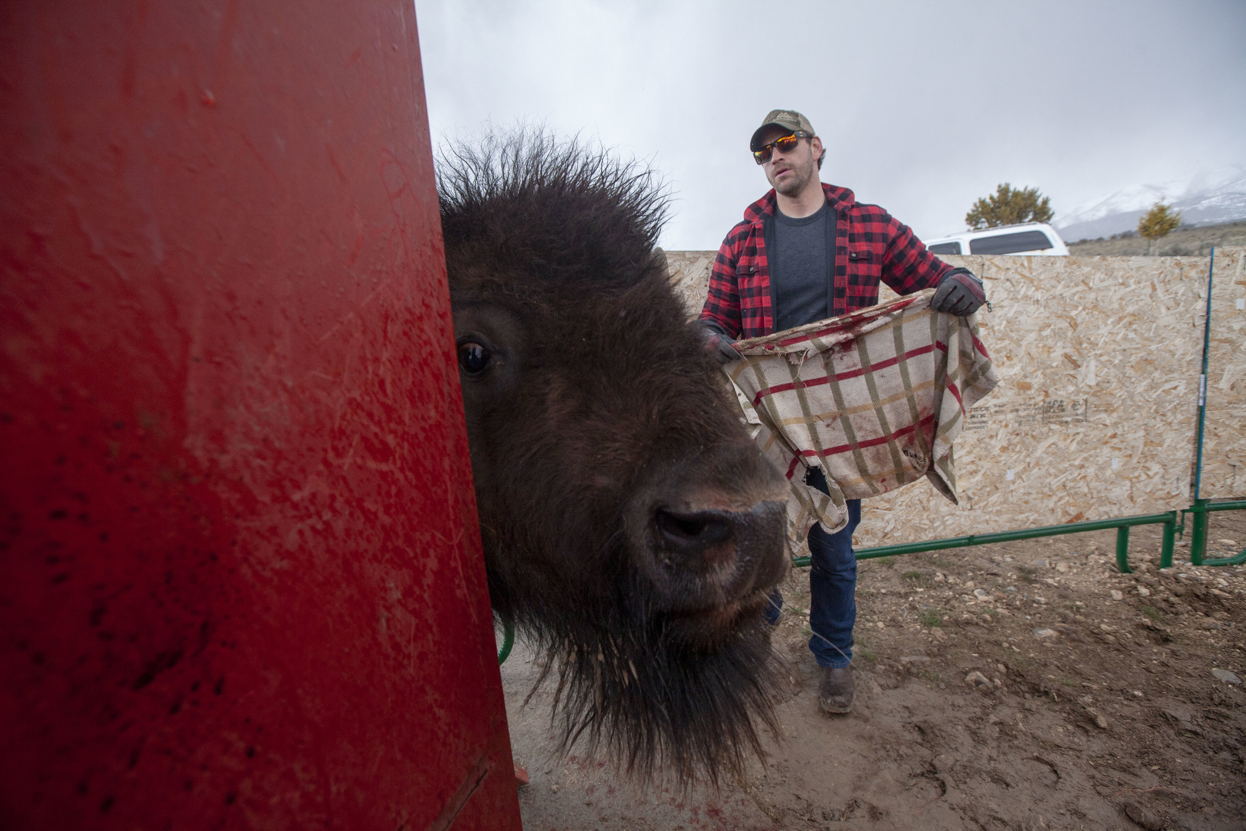 Volunteer Chet Vernon prepares to throw a towel over a bison's head, as a blinder to reduce the animal's stress.