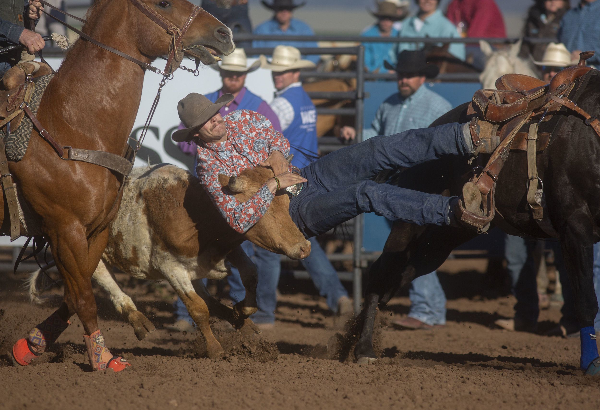 A cowboy jumps off a horse and grabs a steer.