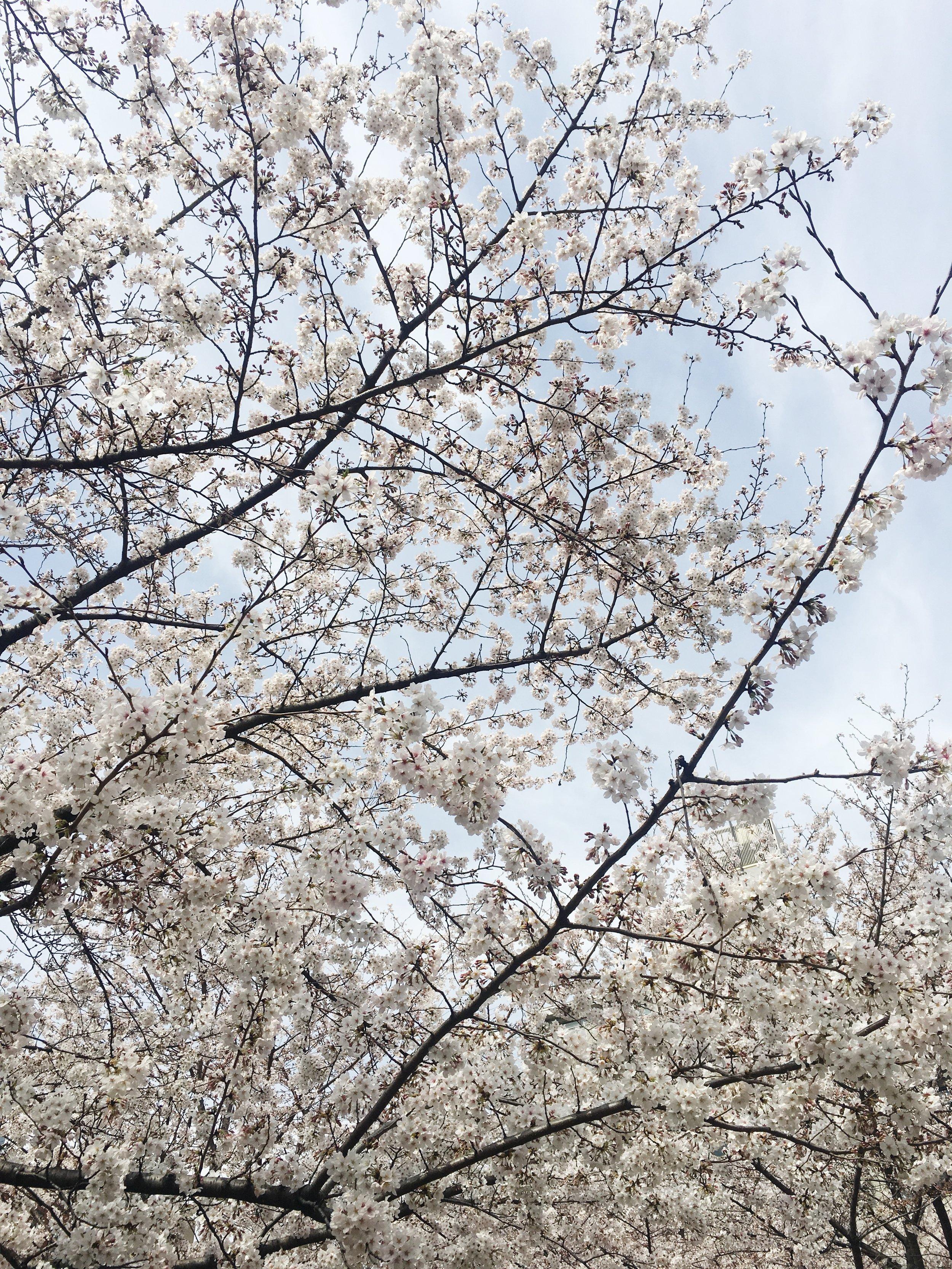 dreamlinealliance-cherry-blossoms.JPG
