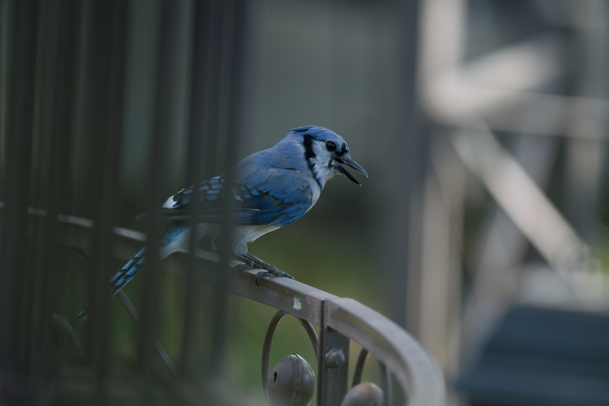 Perched Jay