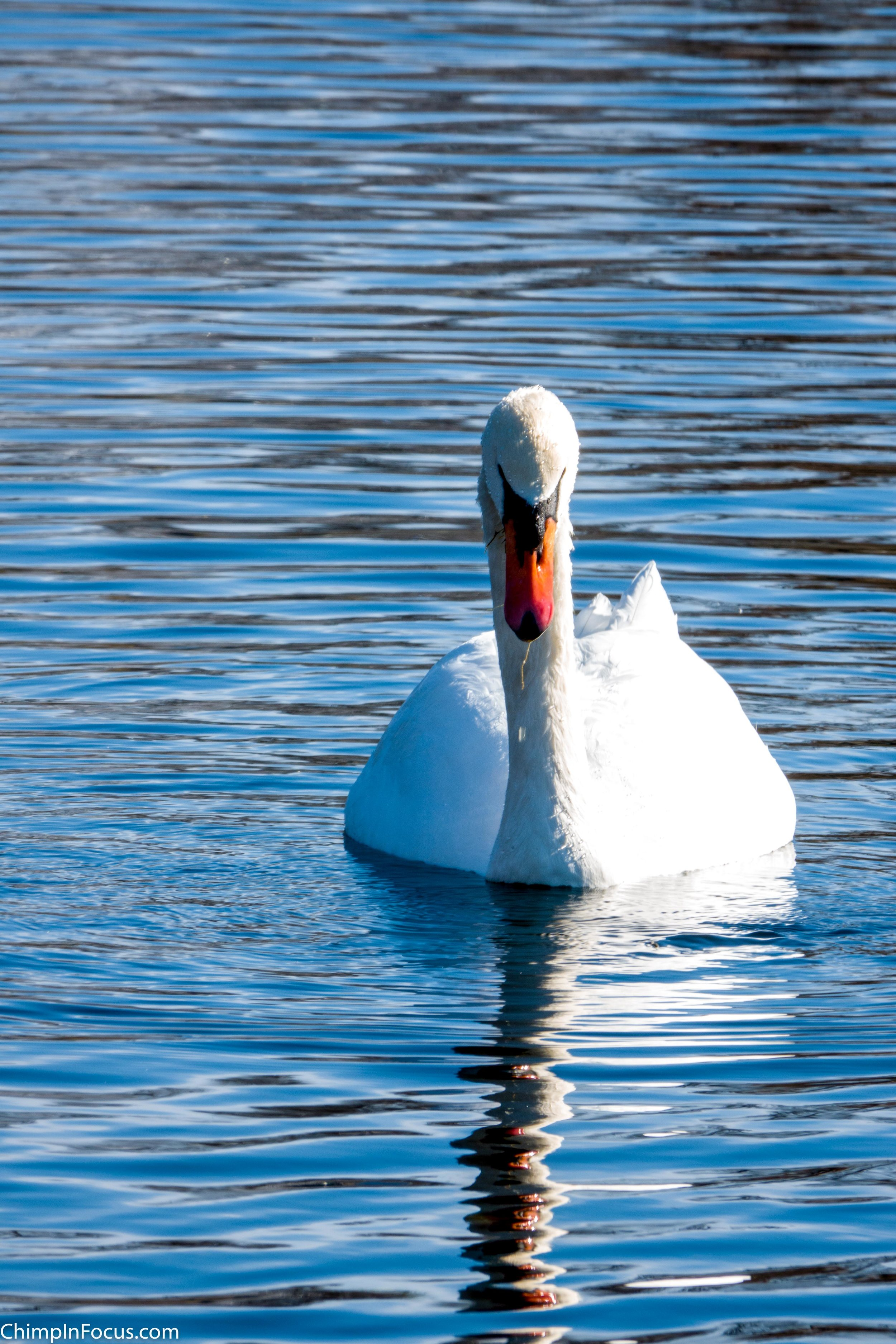 Swan on a rippled mirror lake