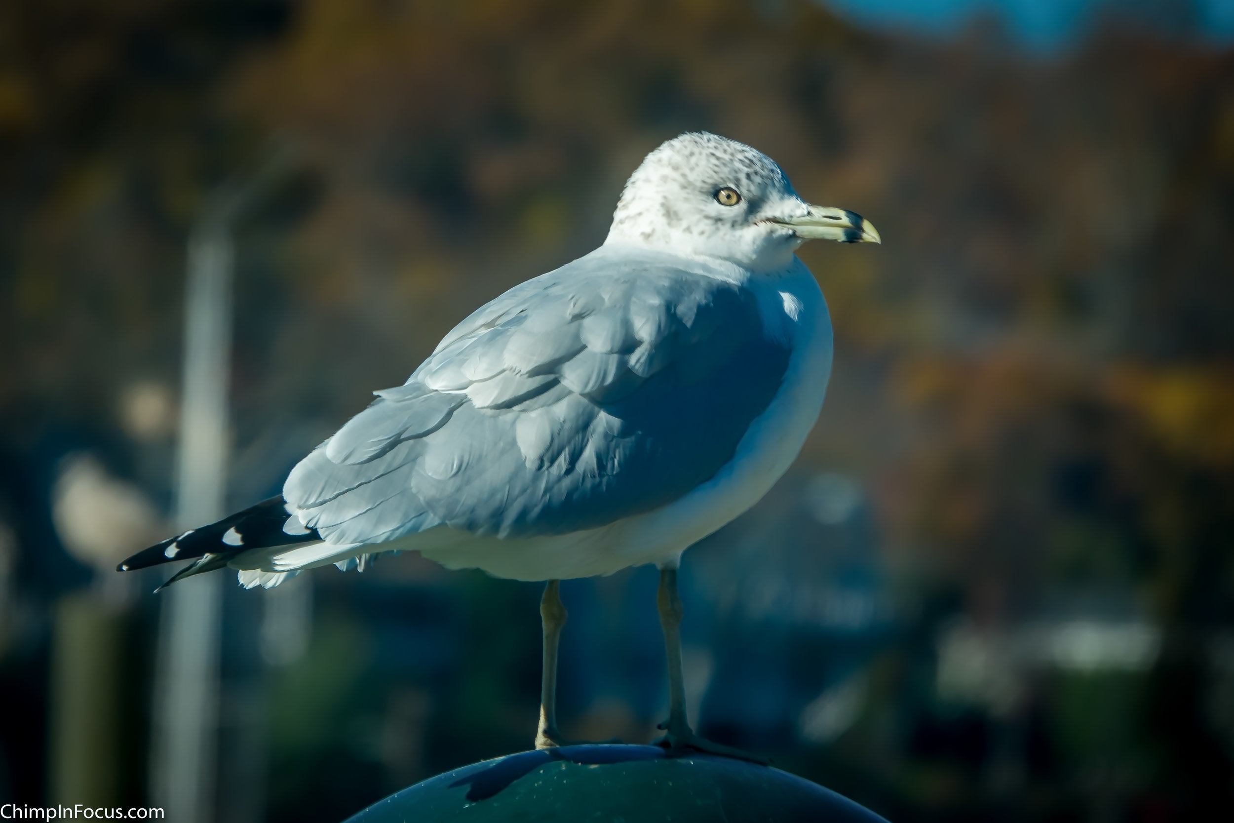 Gull in Fall