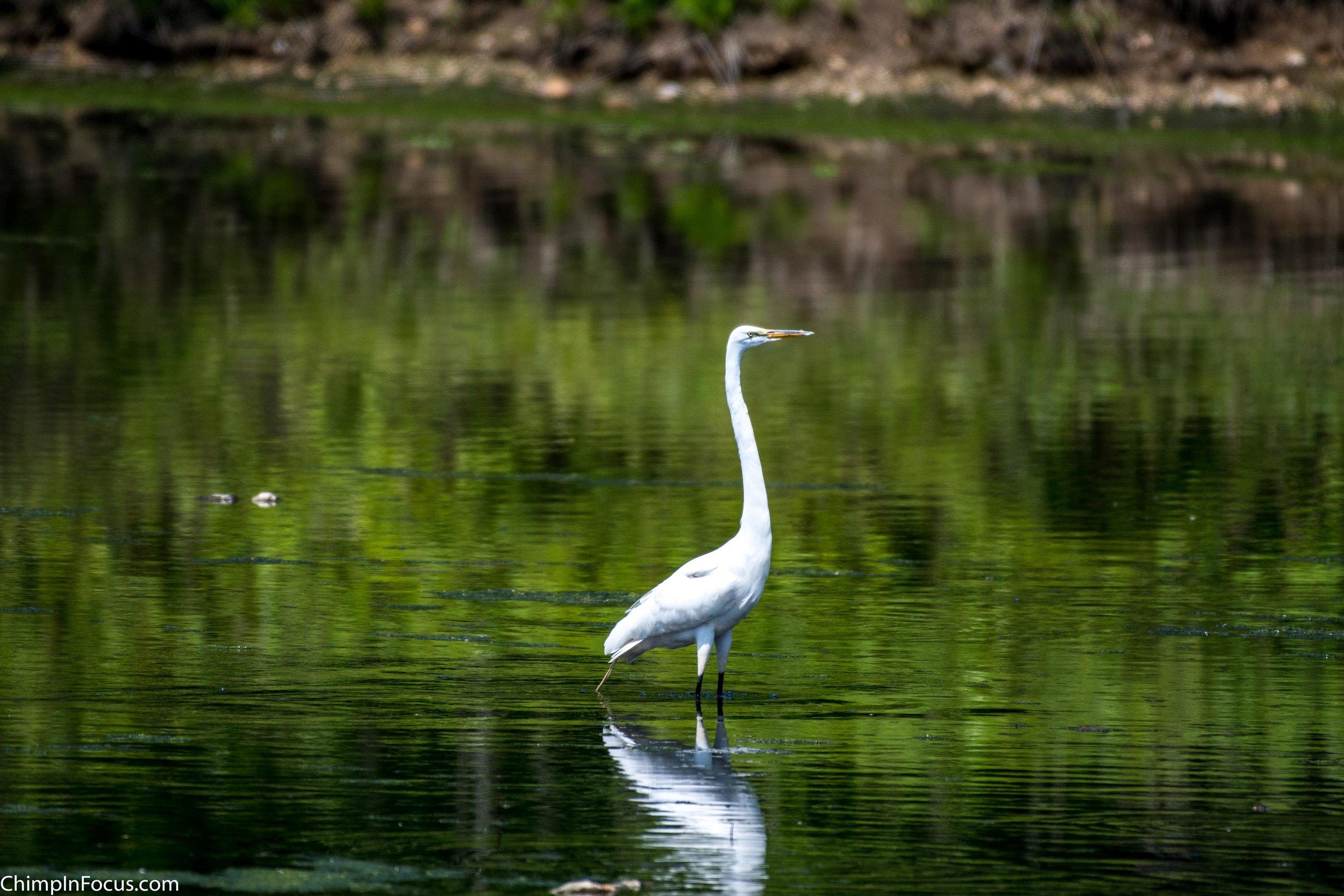 CIF-Great Egret-1.jpg