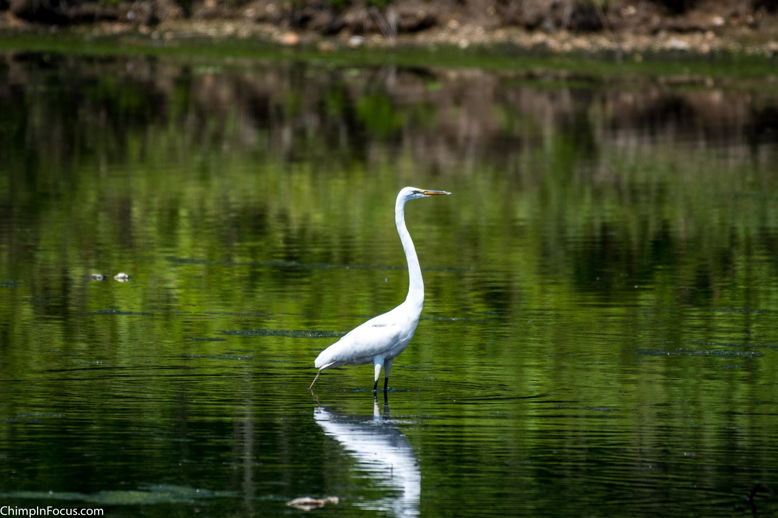 CIF-Great Egret-2.jpg