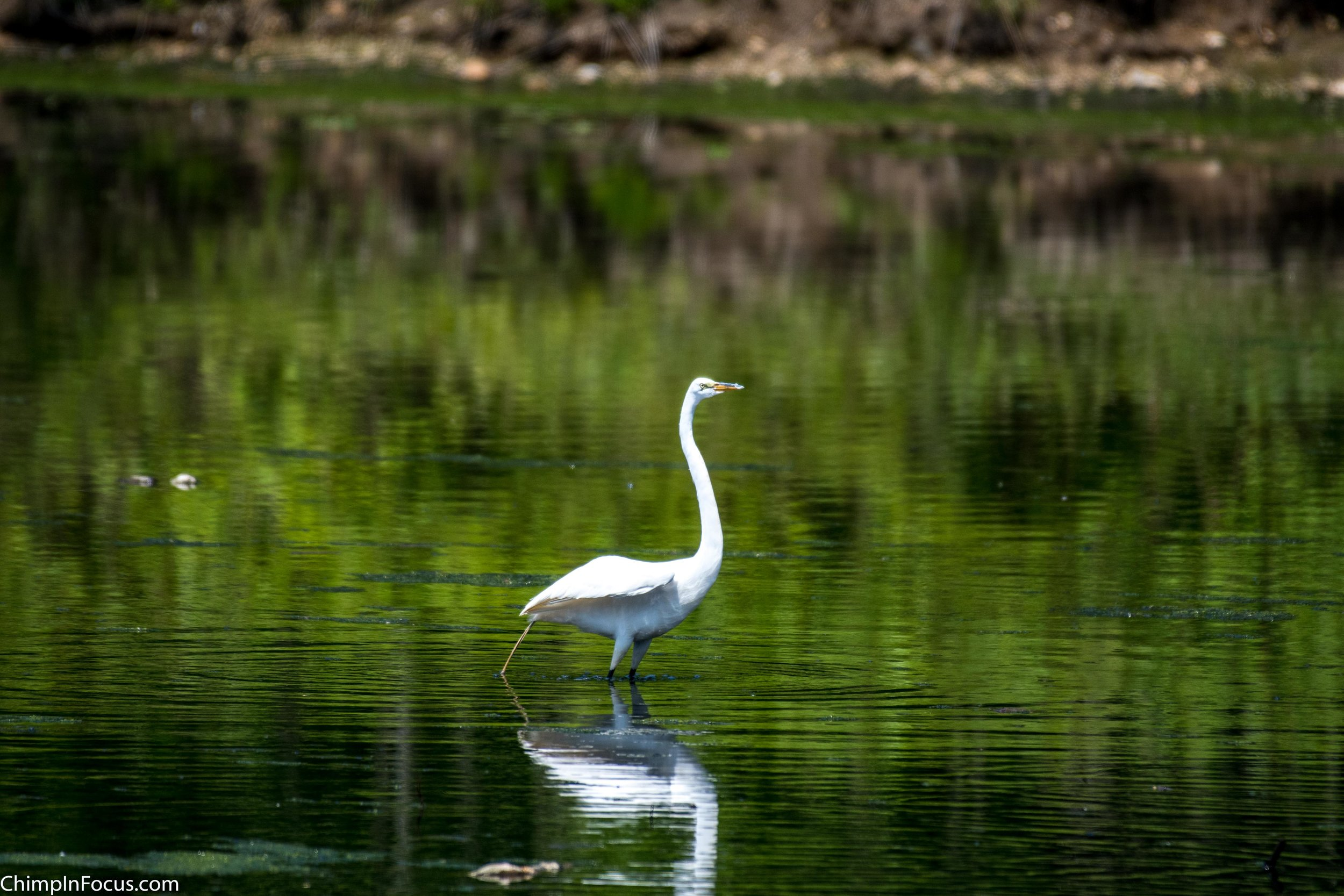 CIF-Great Egret-3.jpg