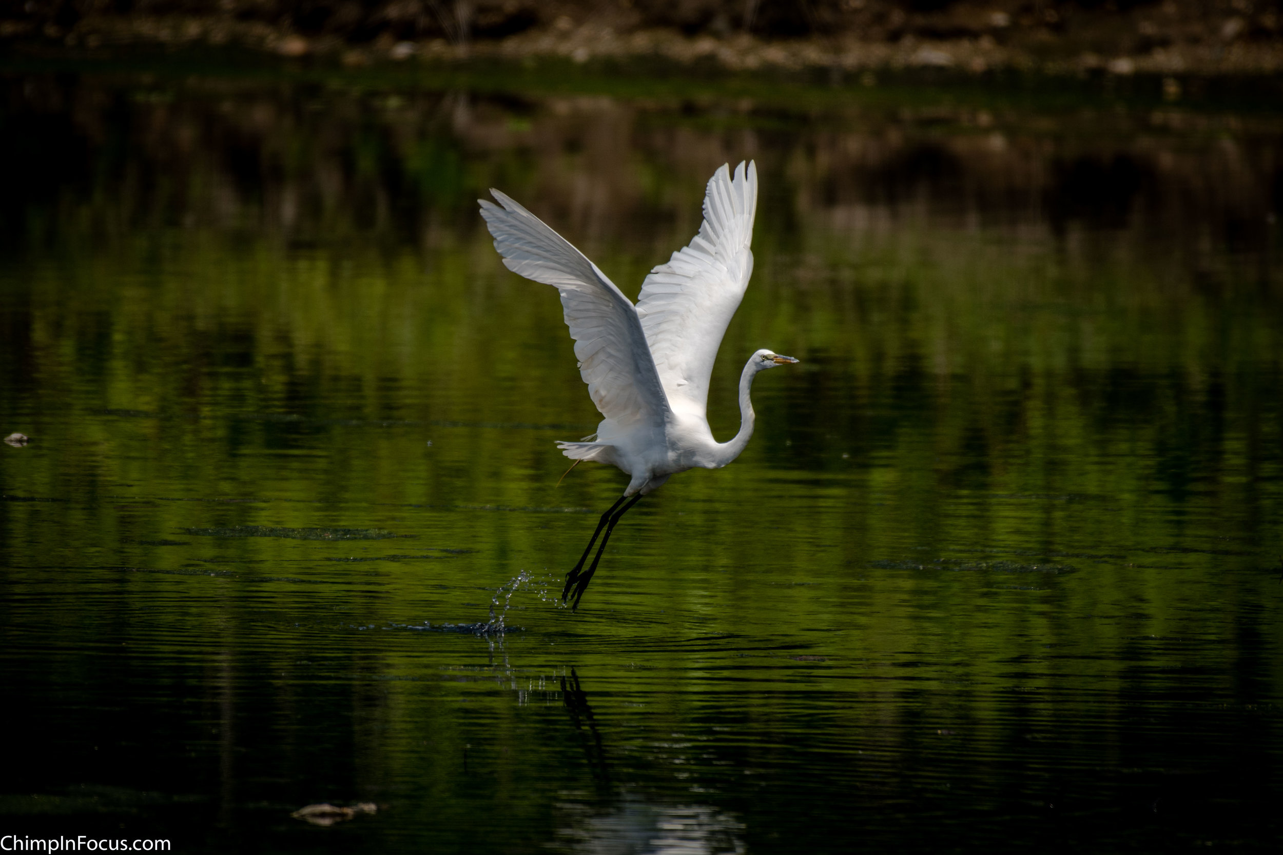 CIF-Great Egret-5.jpg