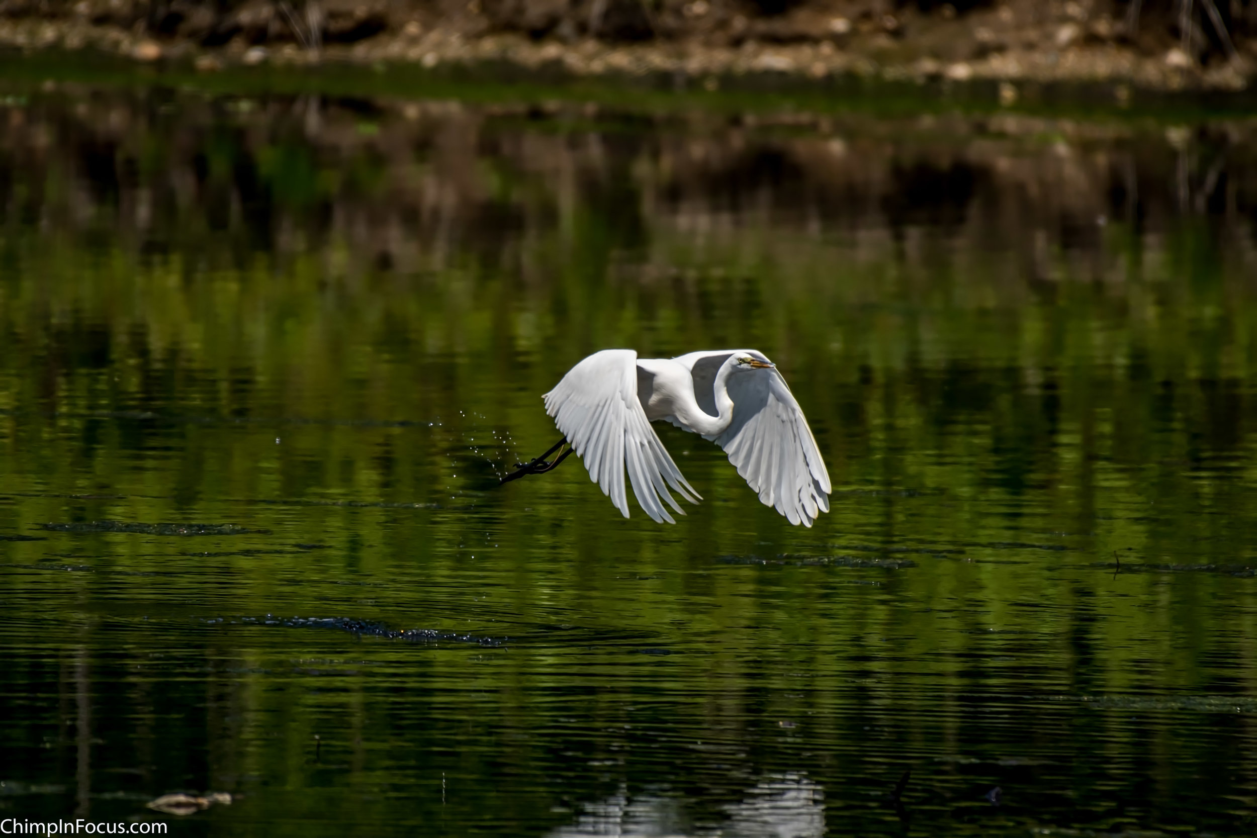 CIF-Great Egret-6.jpg