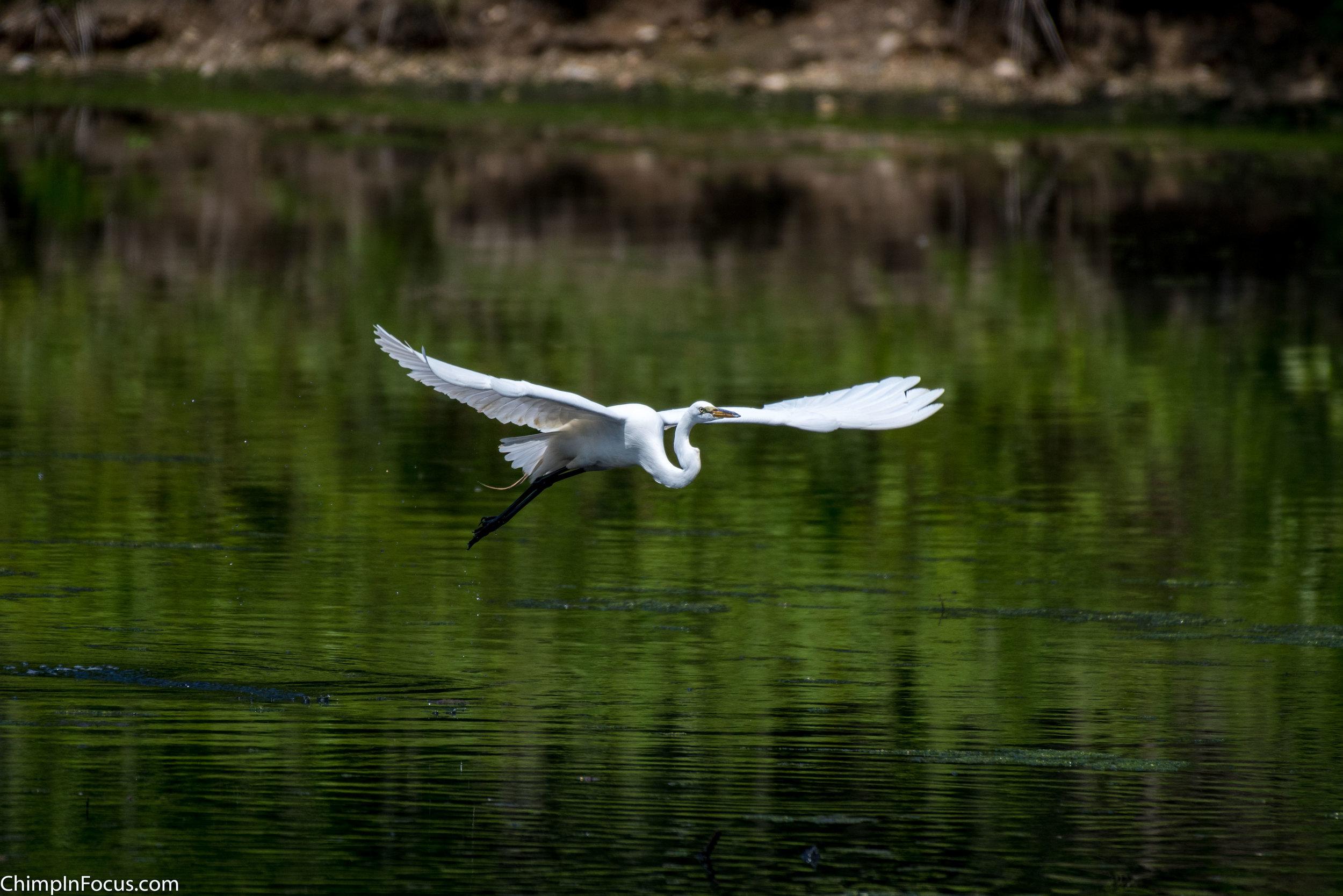 CIF-Great Egret-8.jpg