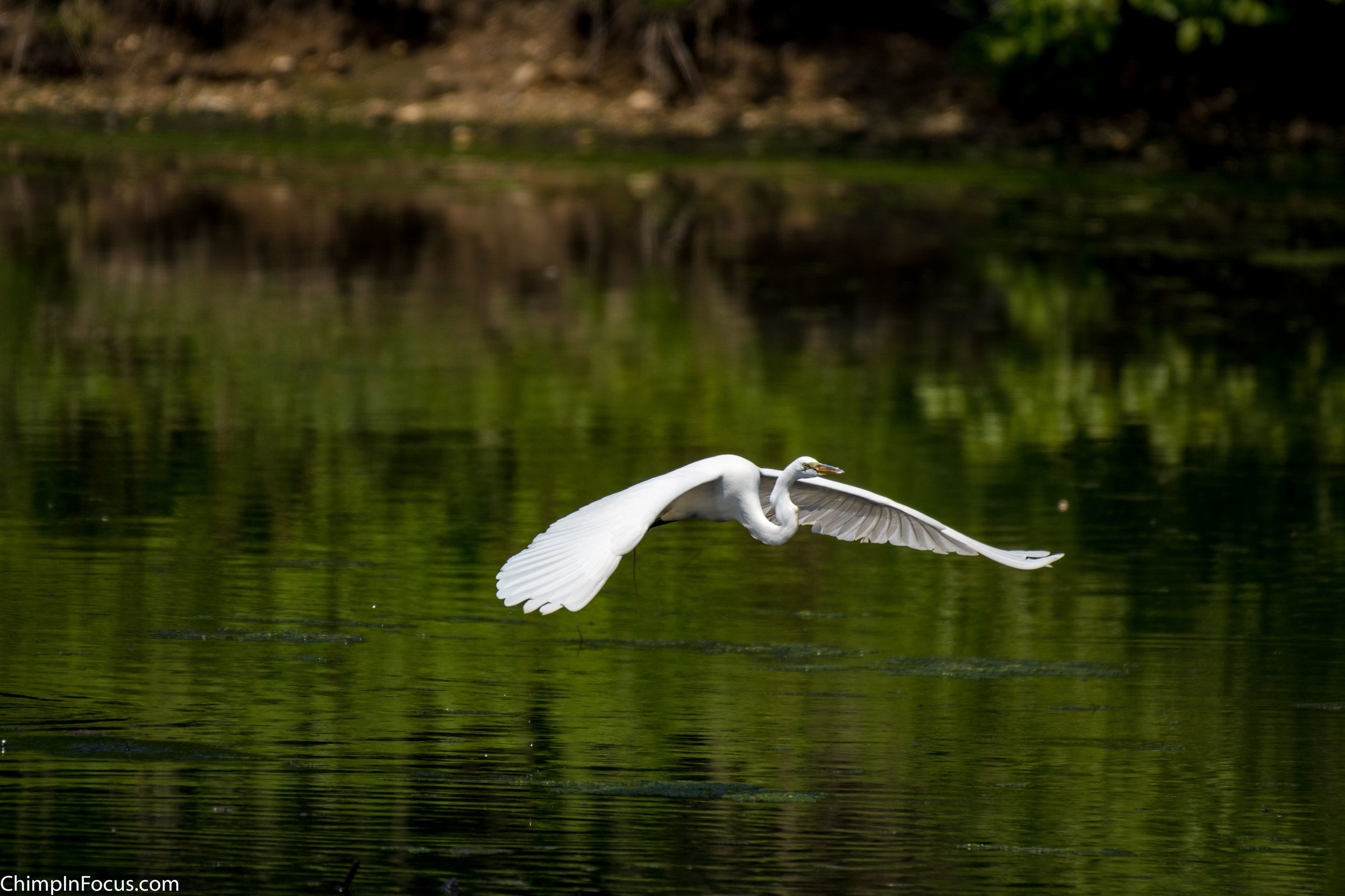 CIF-Great Egret-10.jpg