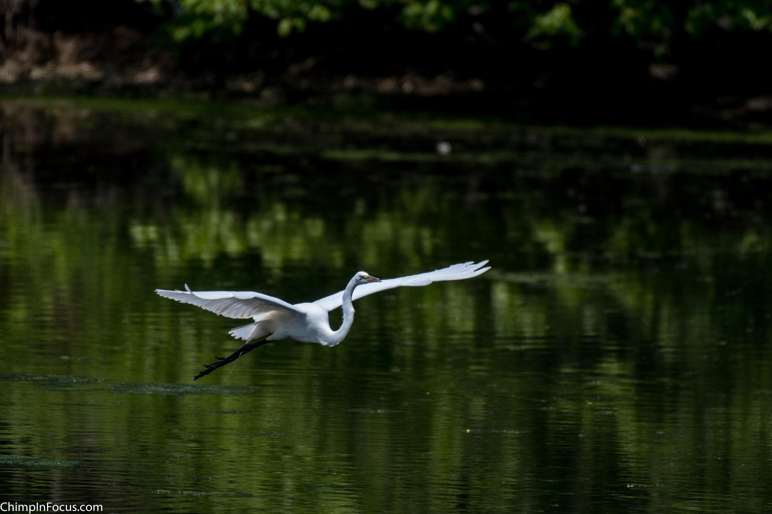 CIF-Great Egret-12.jpg