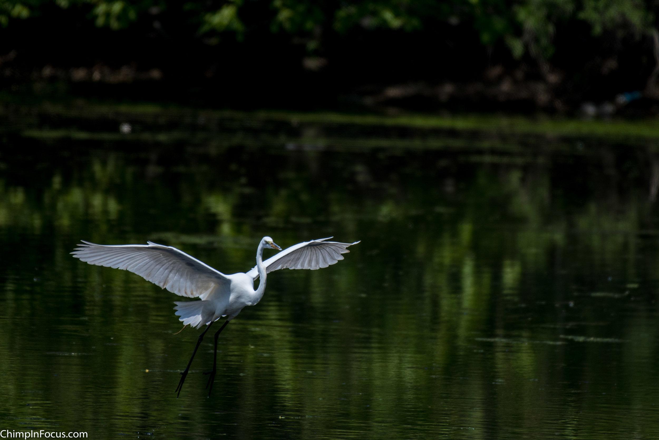 CIF-Great Egret-14.jpg