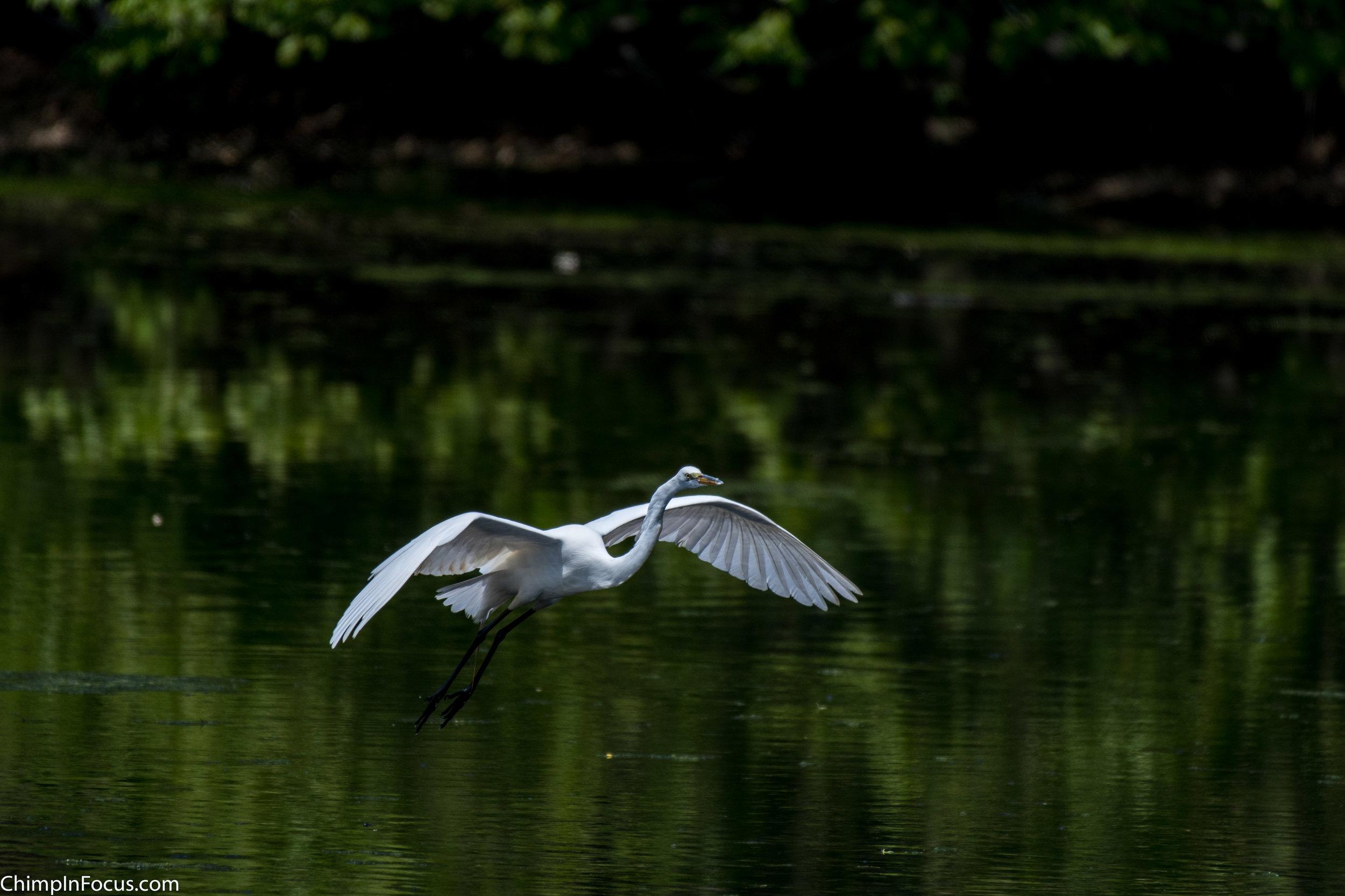CIF-Great Egret-13.jpg
