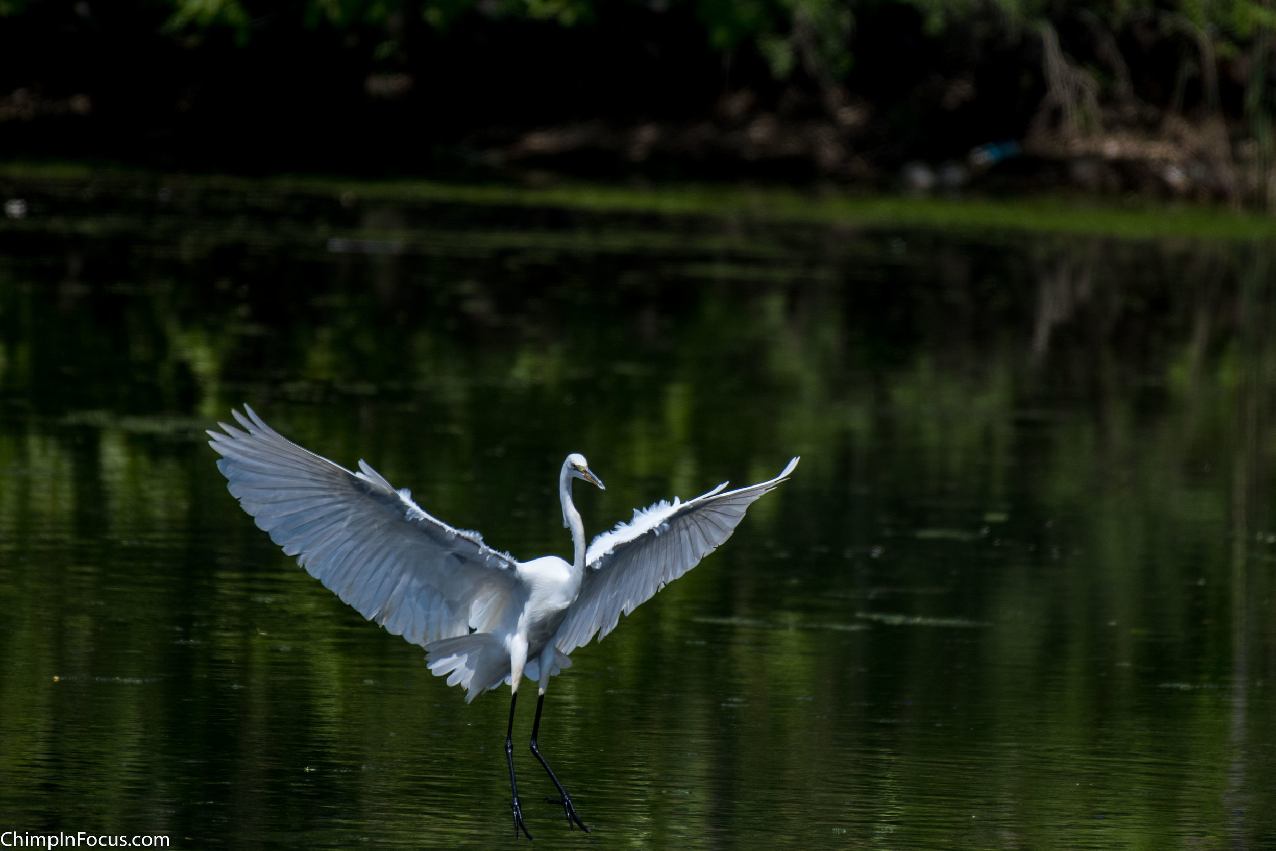 CIF-Great Egret-15.jpg