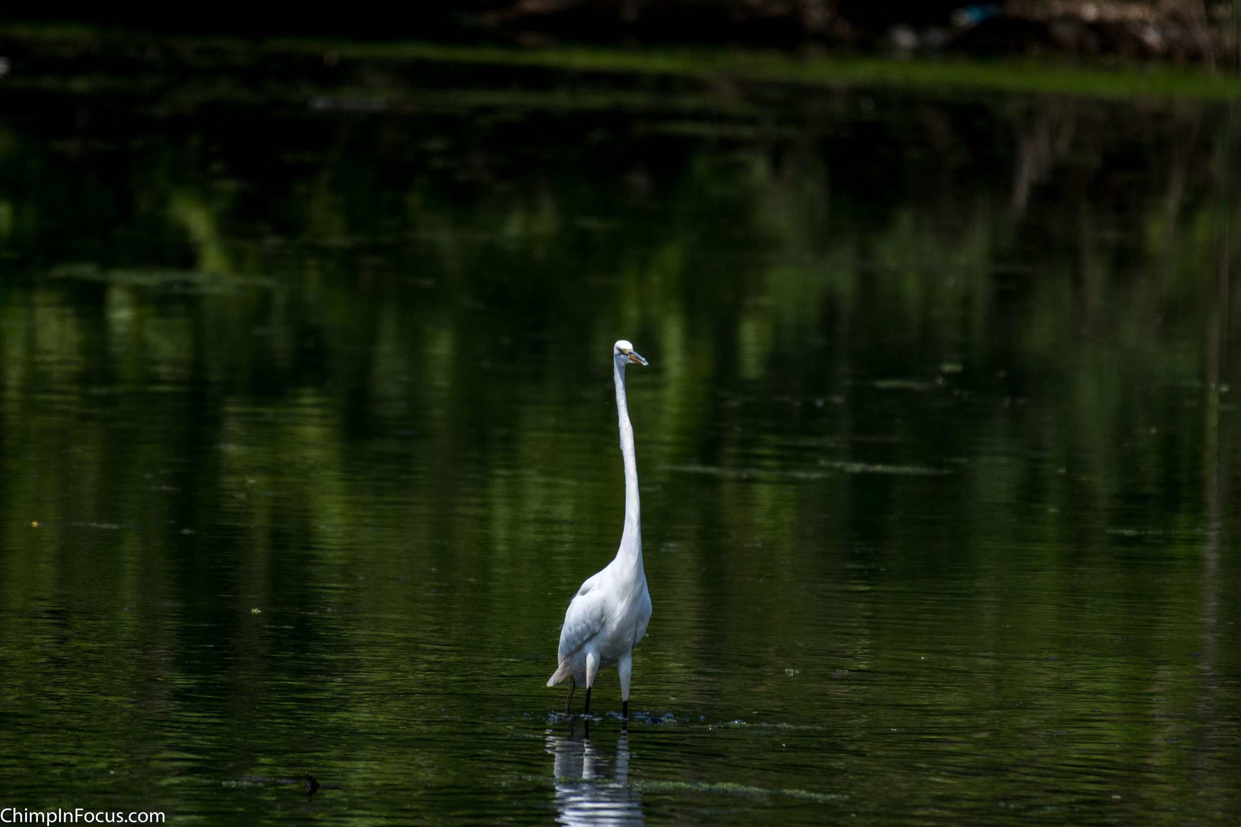 CIF-Great Egret-18.jpg