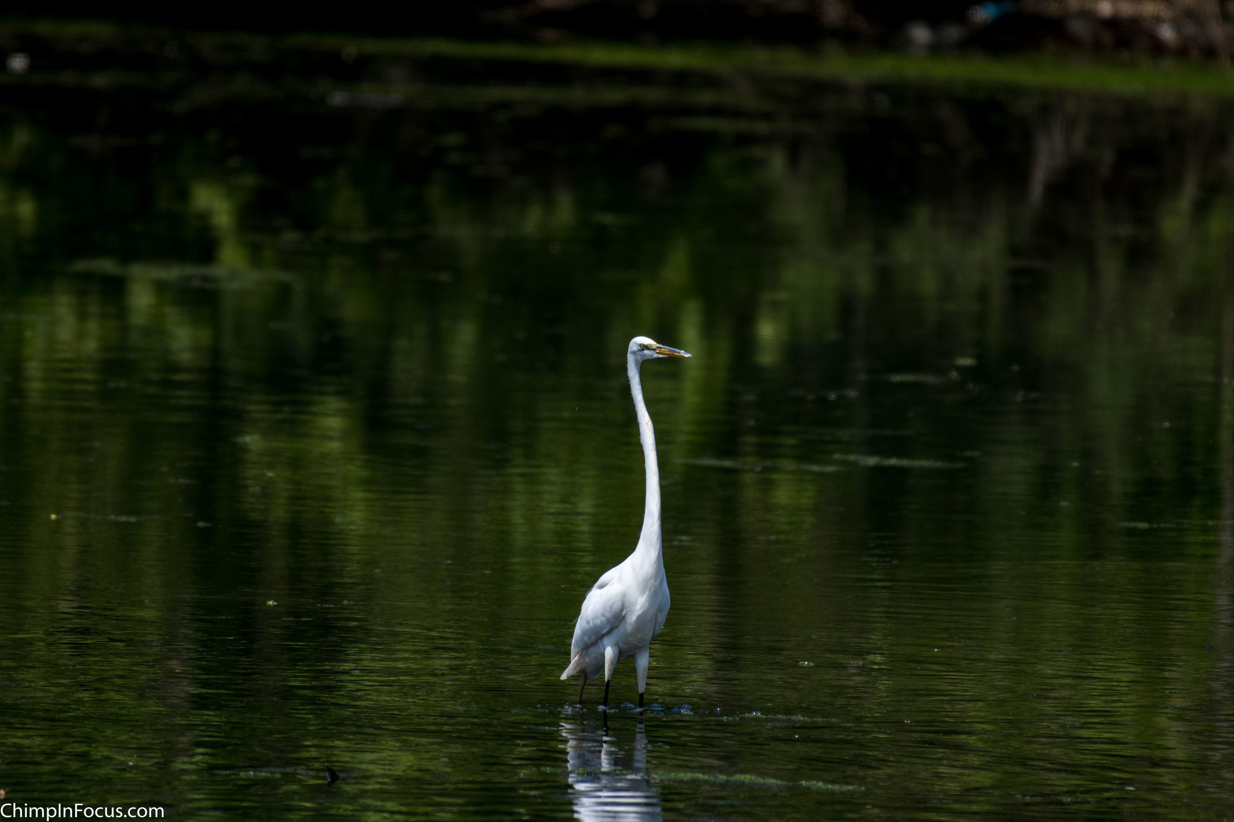 CIF-Great Egret-19.jpg