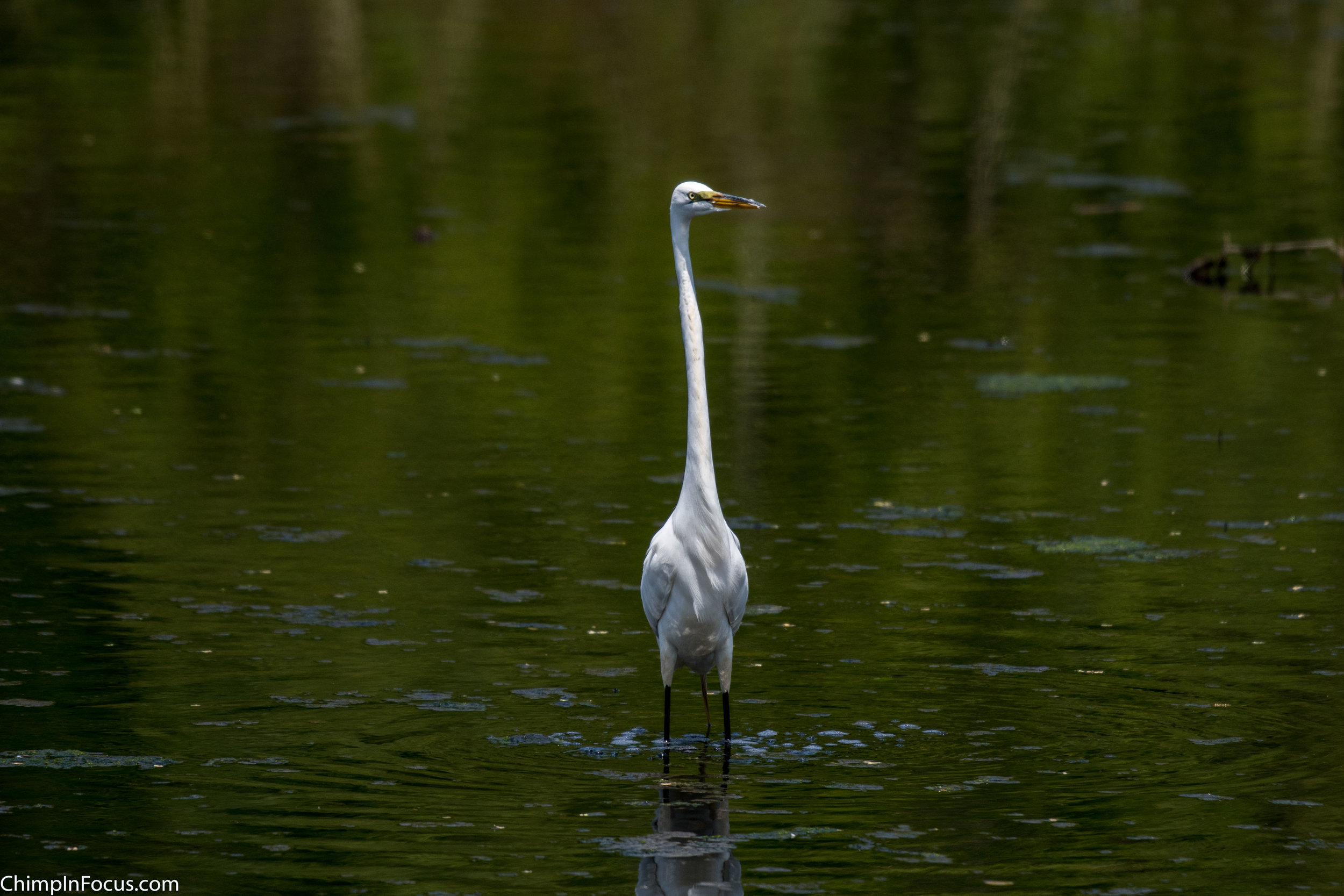 CIF-Great Egret-20.jpg