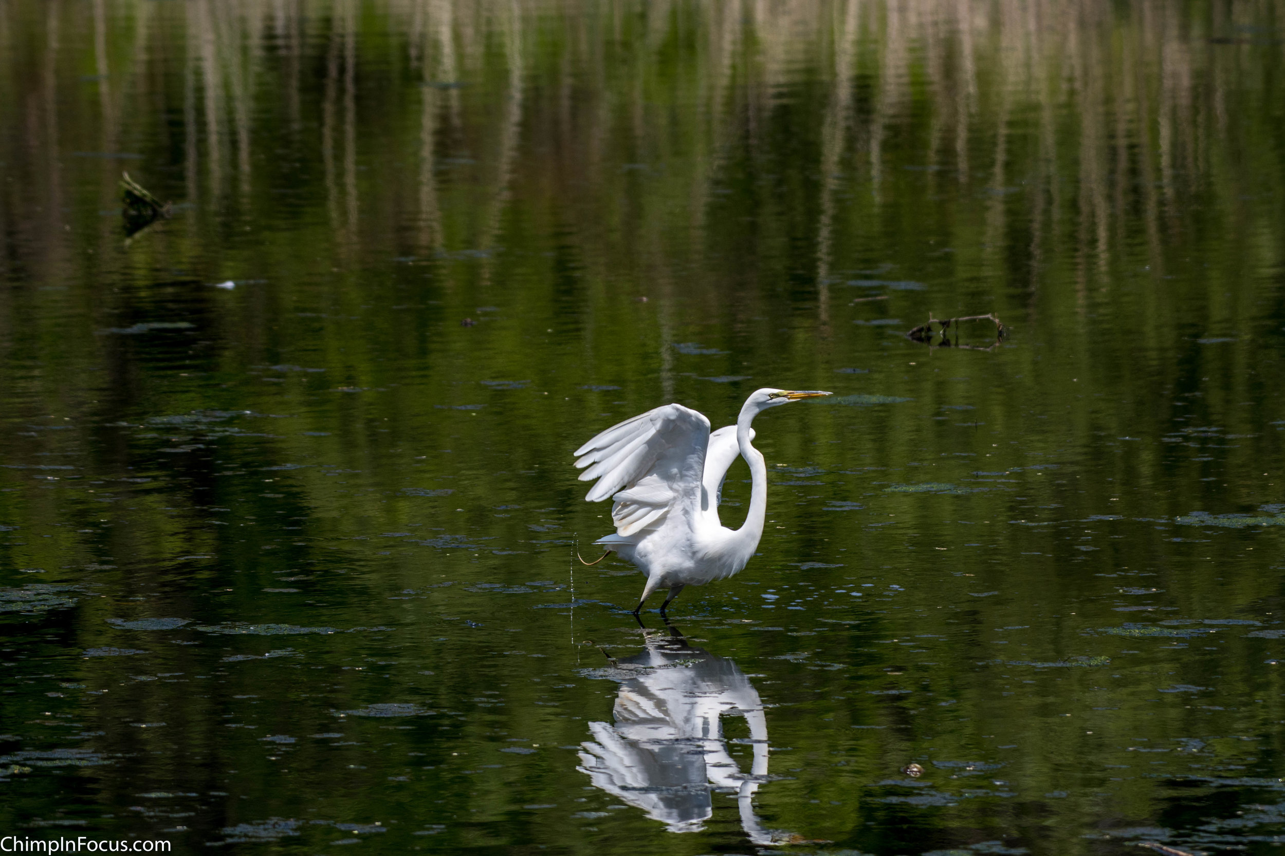CIF-Great Egret-21.jpg