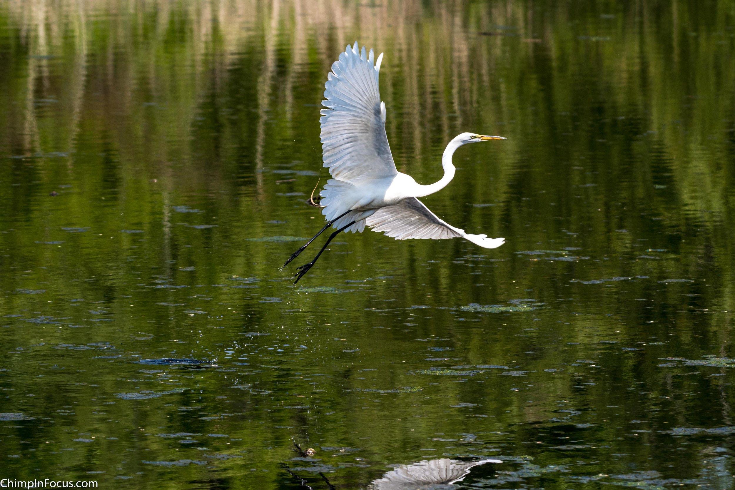 CIF-Great Egret-23.jpg