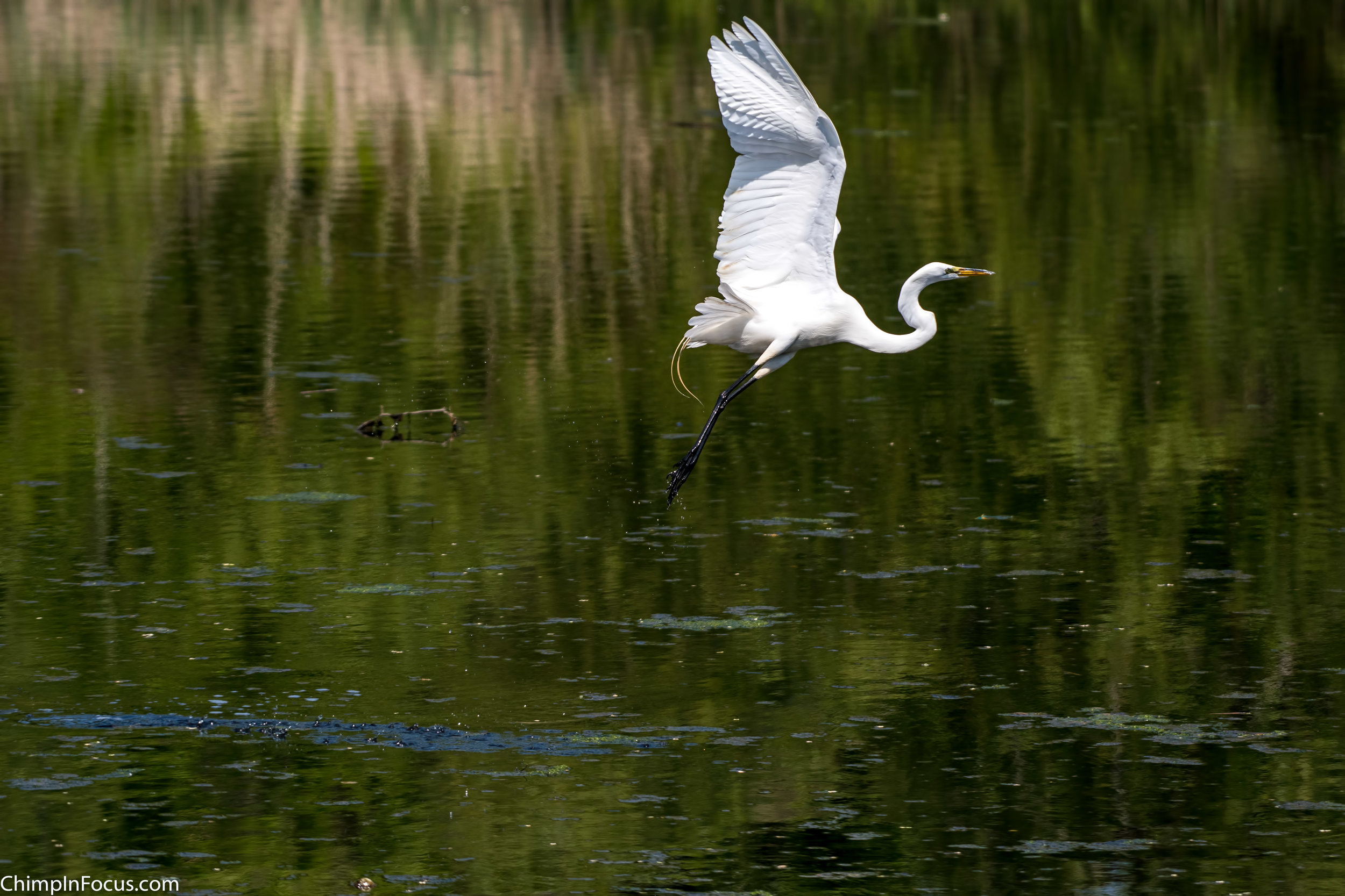 CIF-Great Egret-24.jpg
