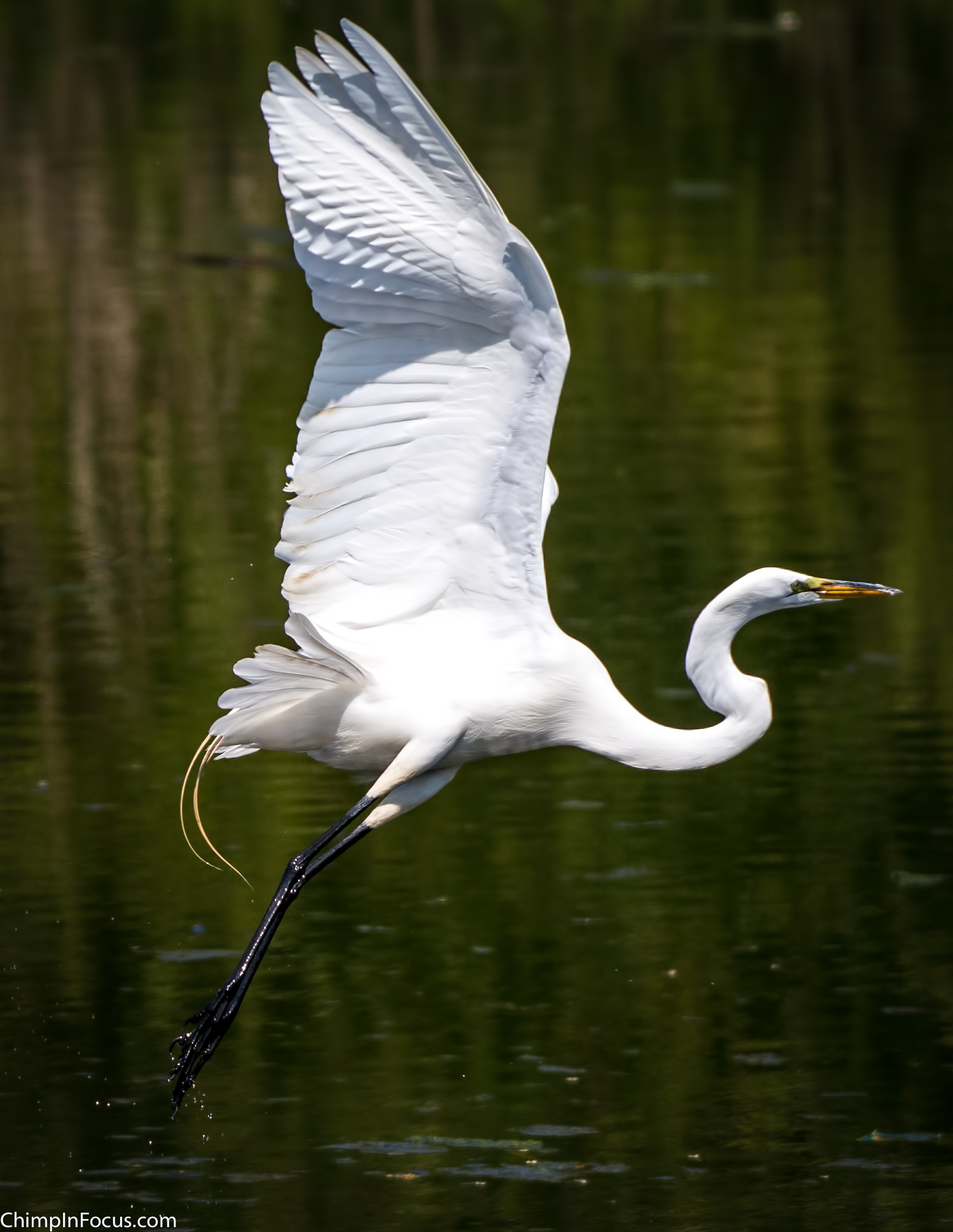 CIF-Great Egret-25.jpg