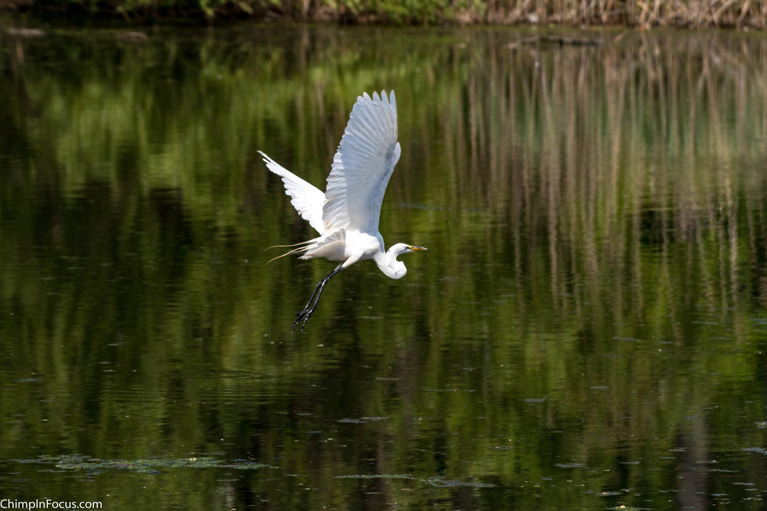 CIF-Great Egret-27.jpg