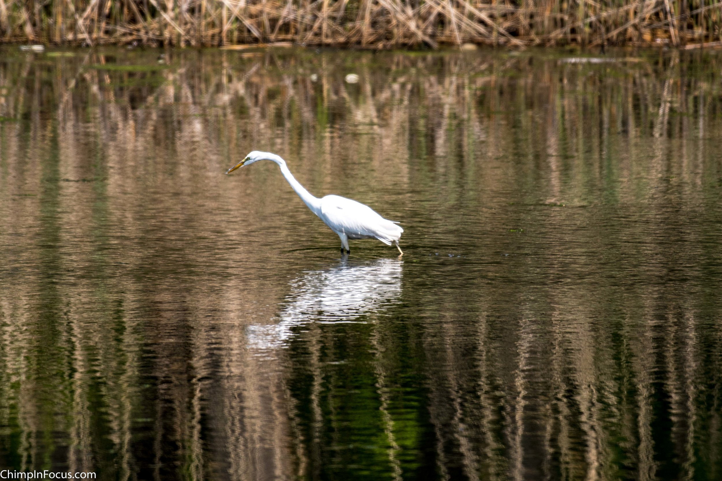 CIF-Great Egret-29.jpg