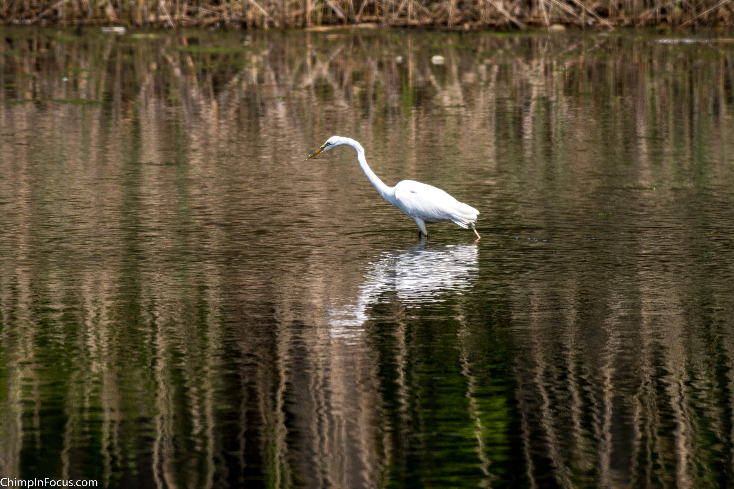 CIF-Great Egret-30.jpg
