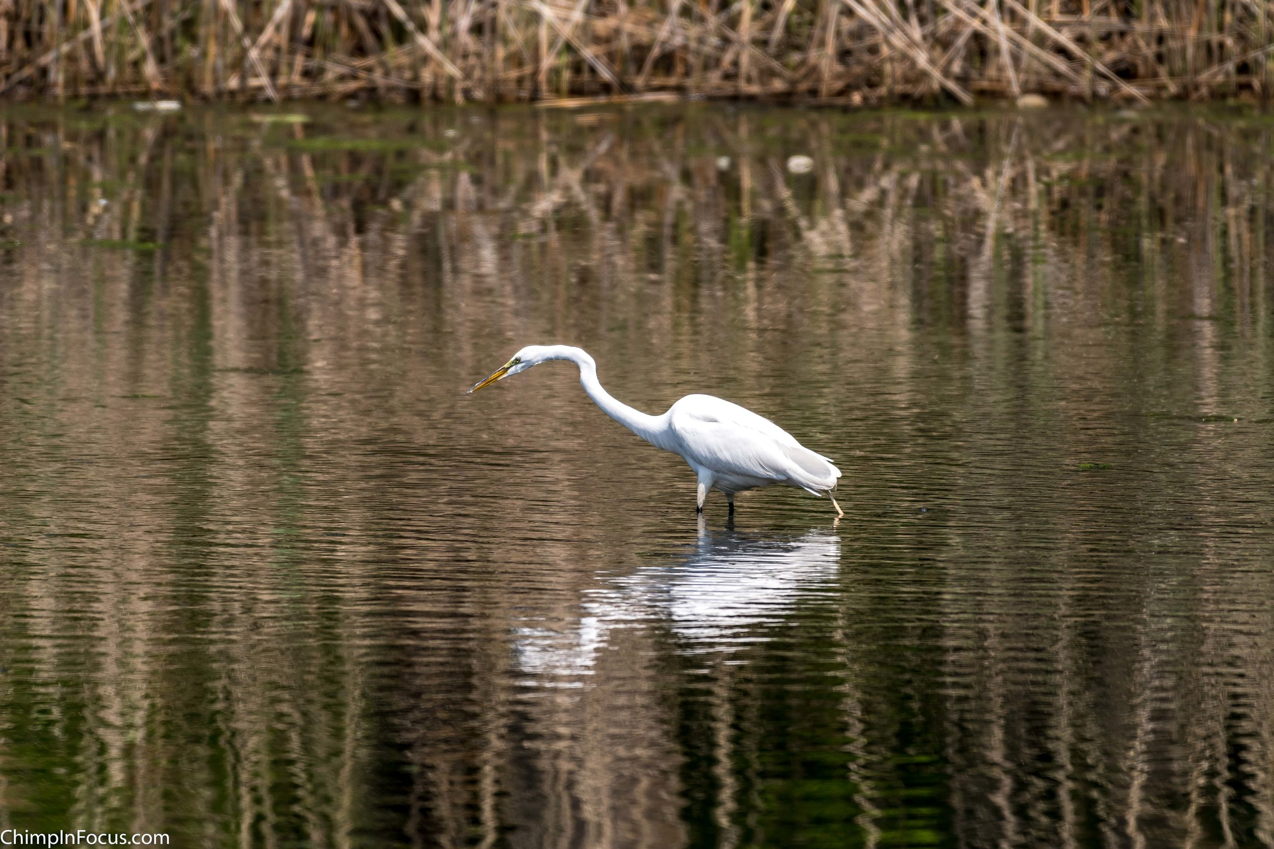CIF-Great Egret-33.jpg