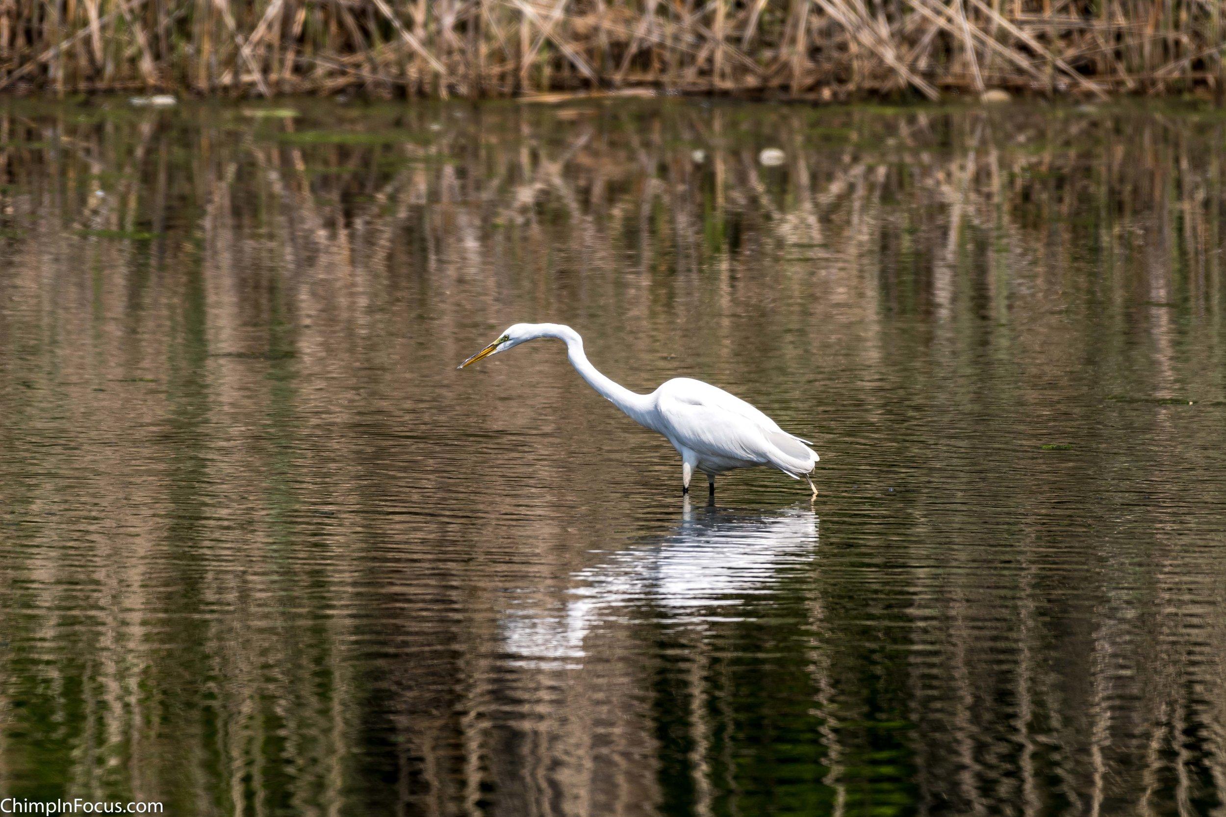 CIF-Great Egret-32.jpg