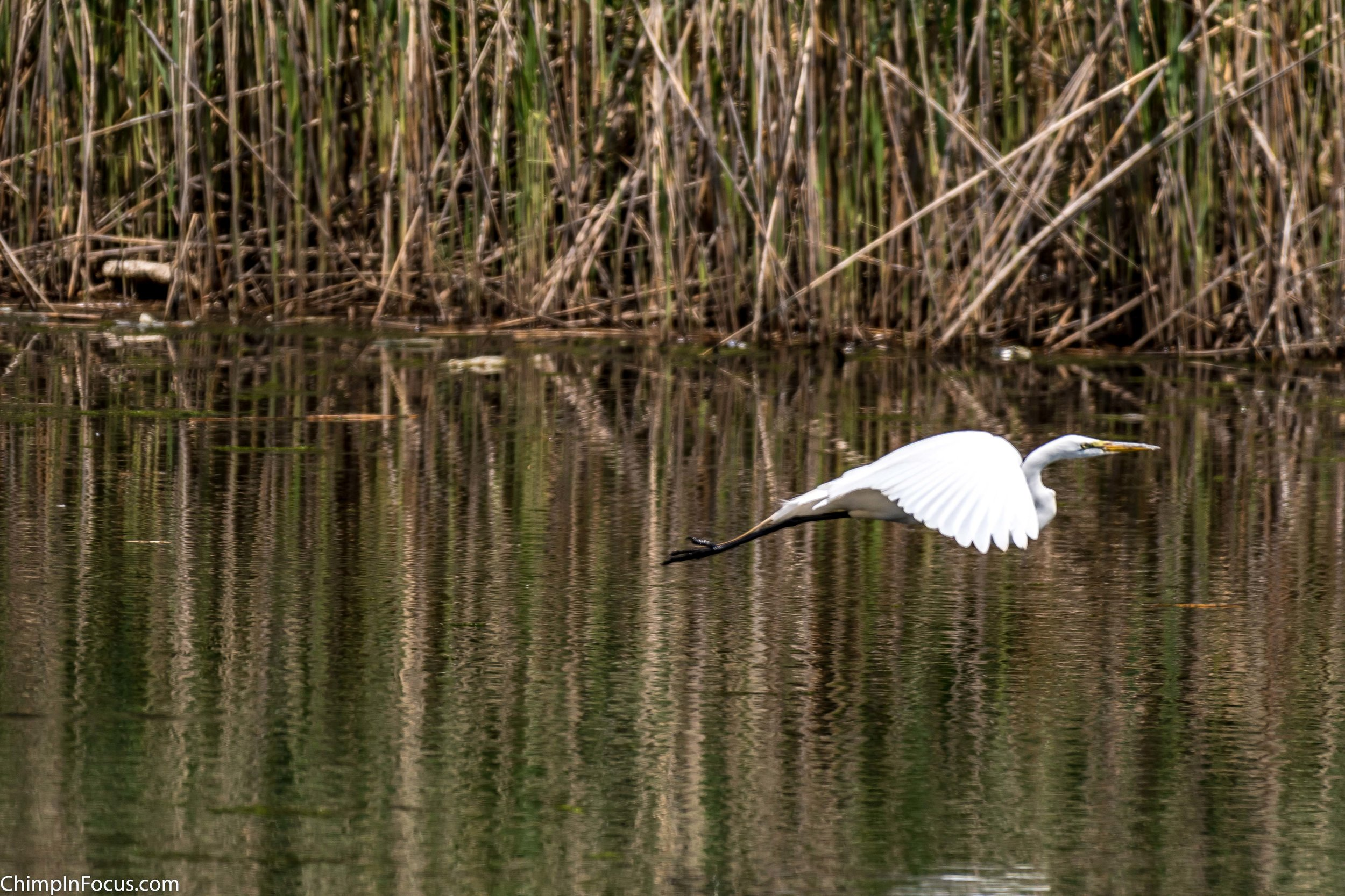 CIF-Great Egret-37.jpg